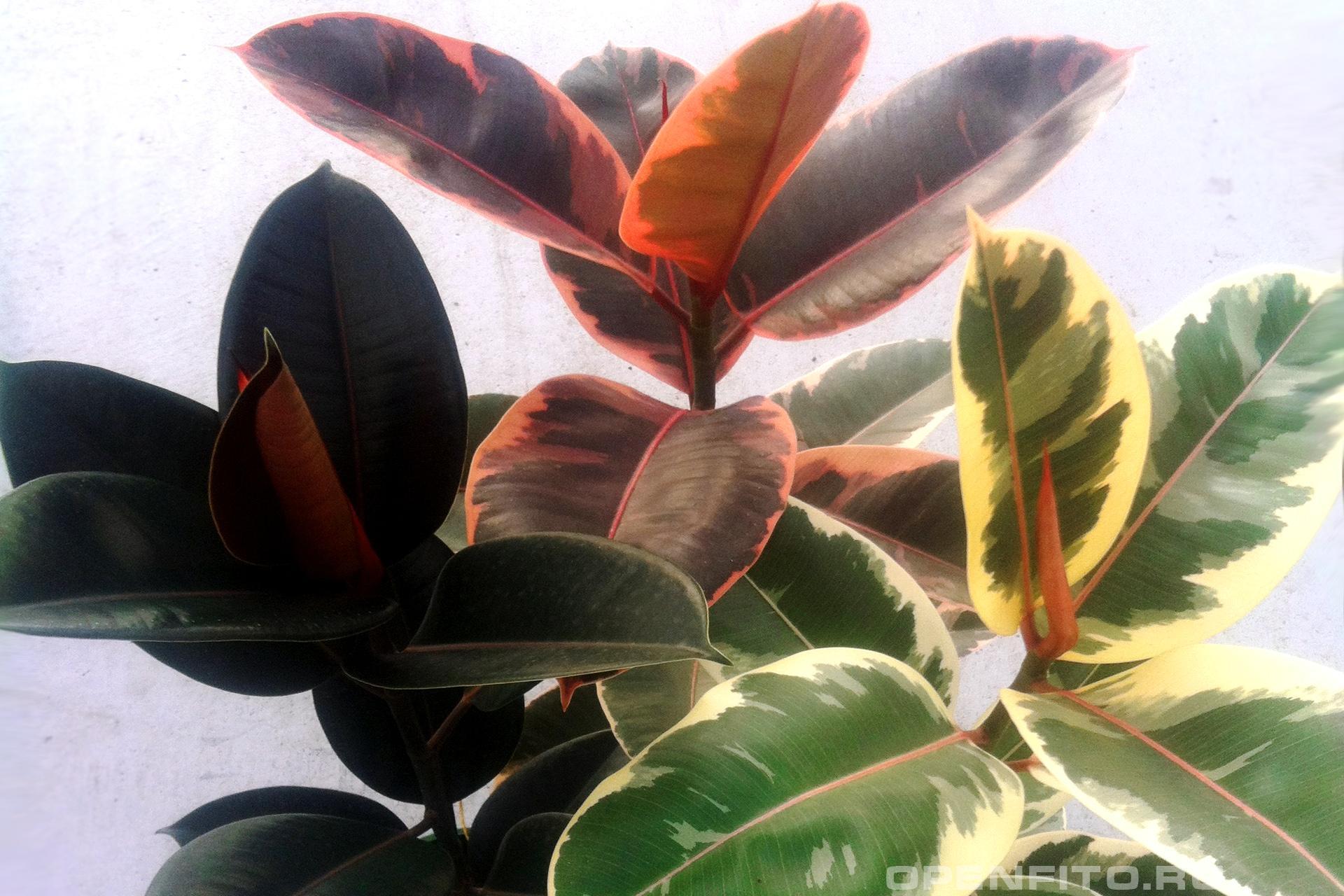 Фикус упругий <p>используется как декоративное домашнее растение, иногда называют фикус эластичный</p>