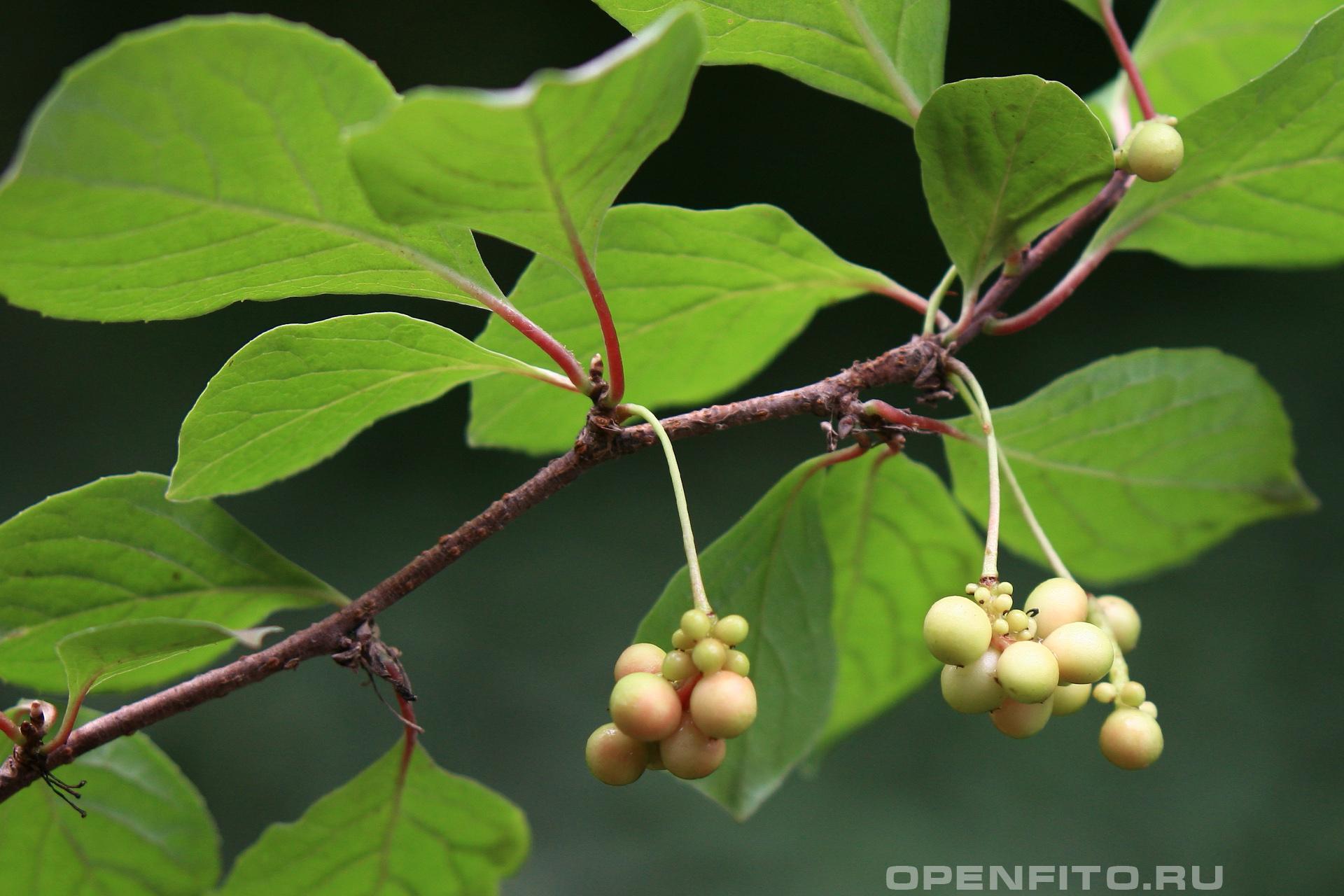 Лимонник китайский не зрелые плоды растения