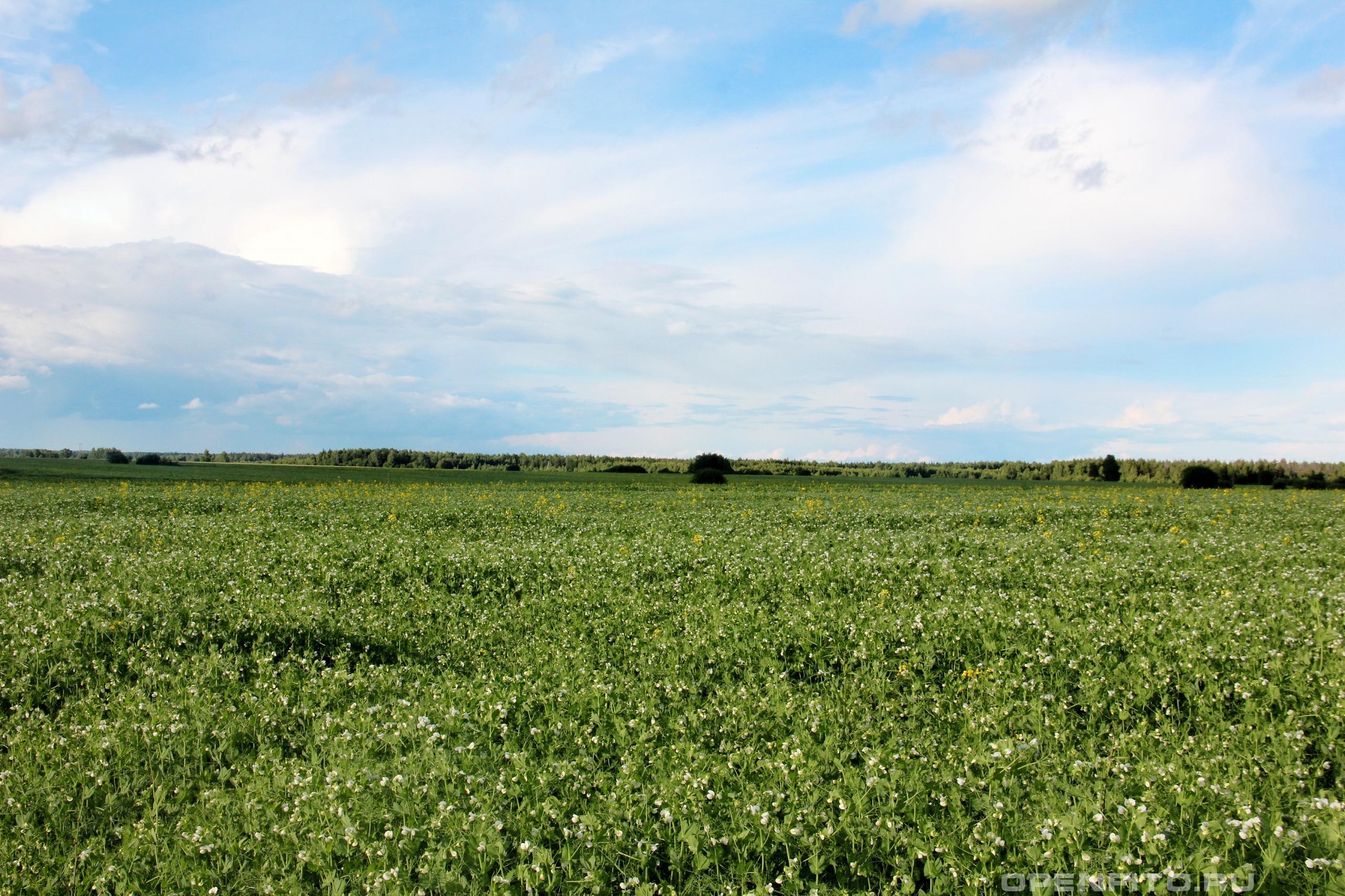 Горох посевной поле засеянное горохом