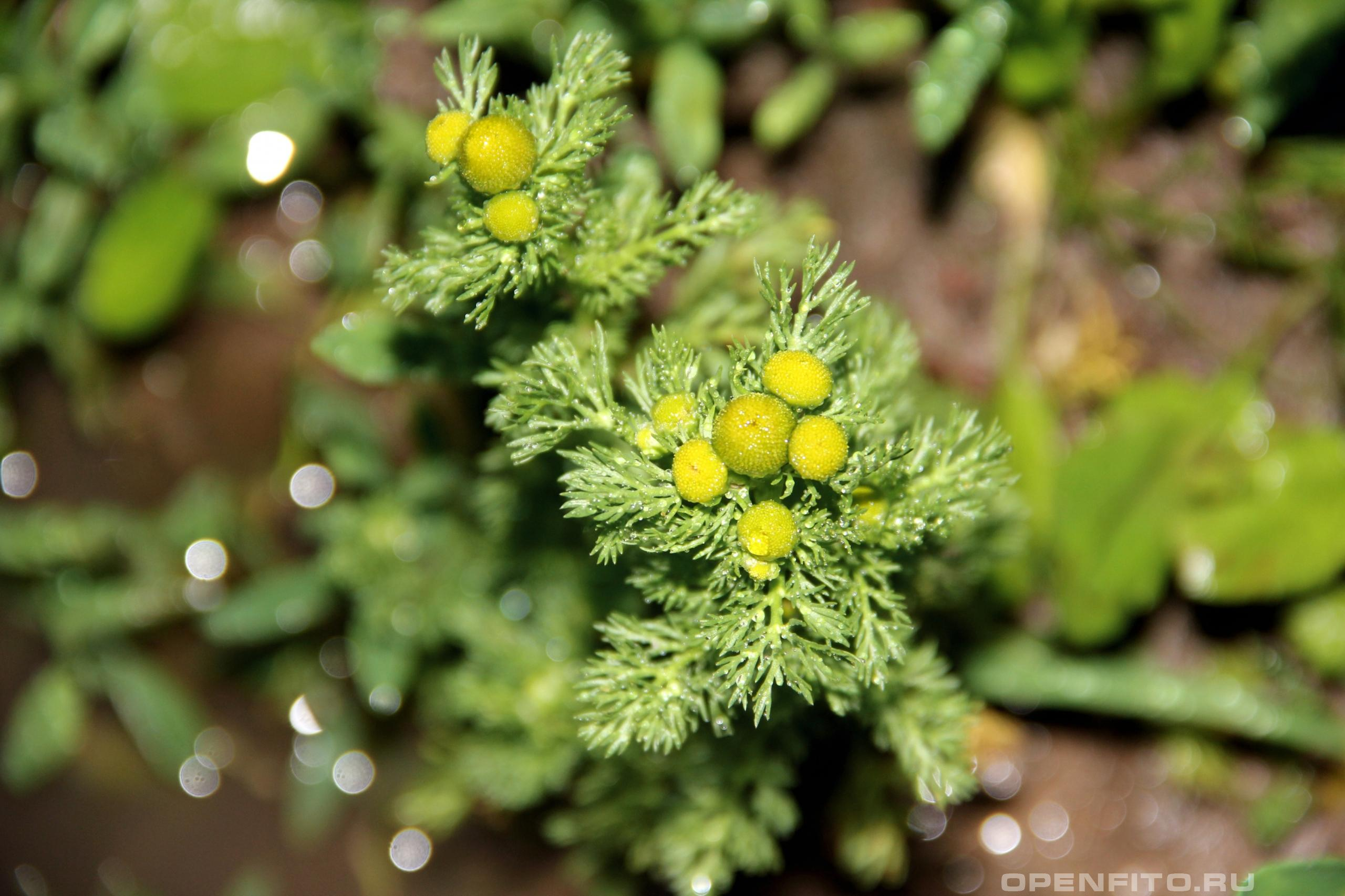Ромашка пахучая лекарственная ромашка с цветками без лепестков