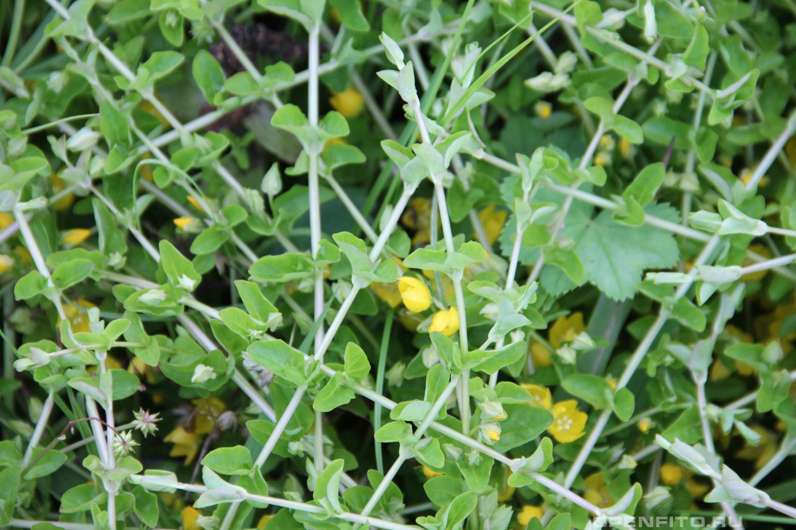 Вербейник ползучий трава крупным планом