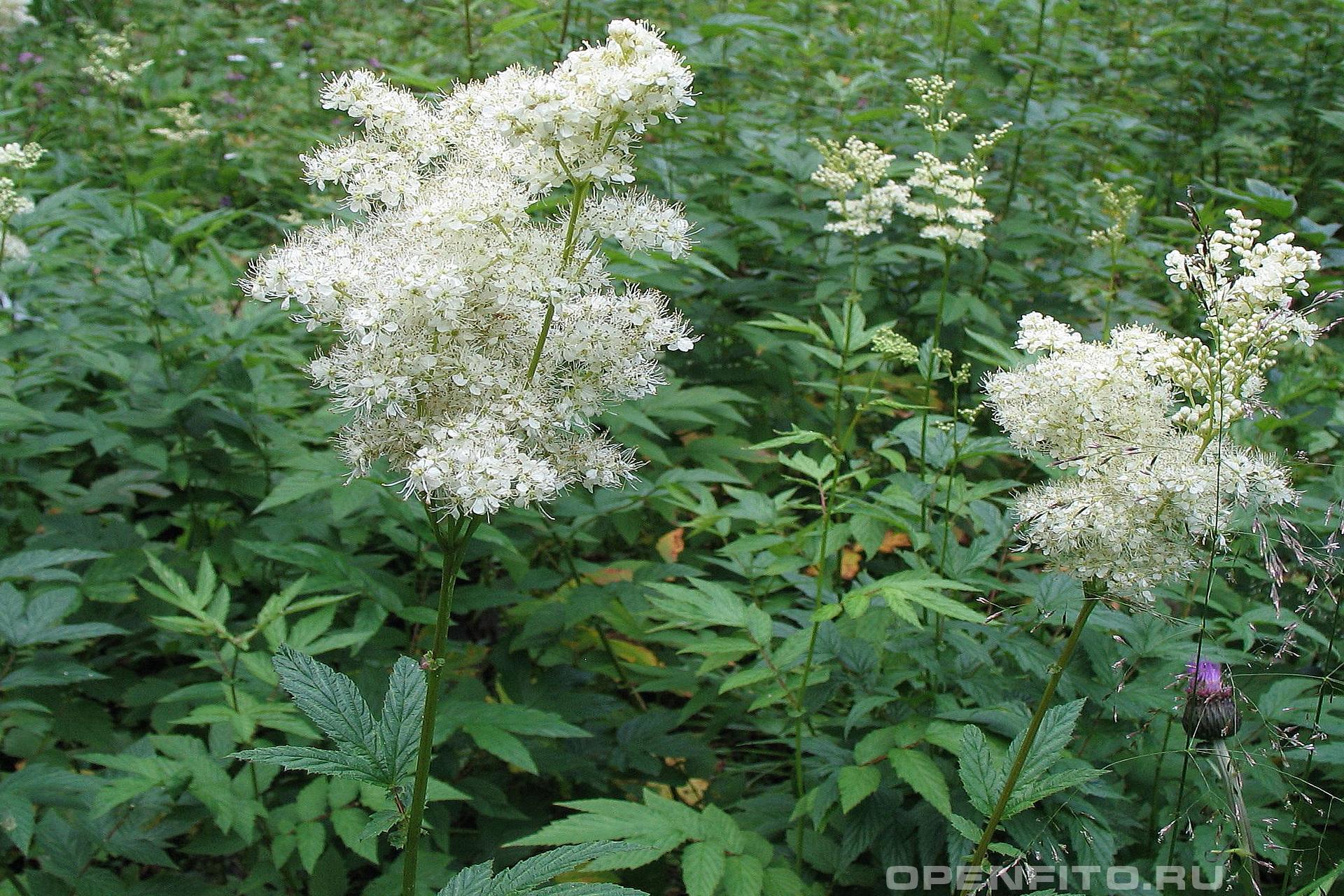 Таволга вязолистная душистое растение произрастающее на болотах