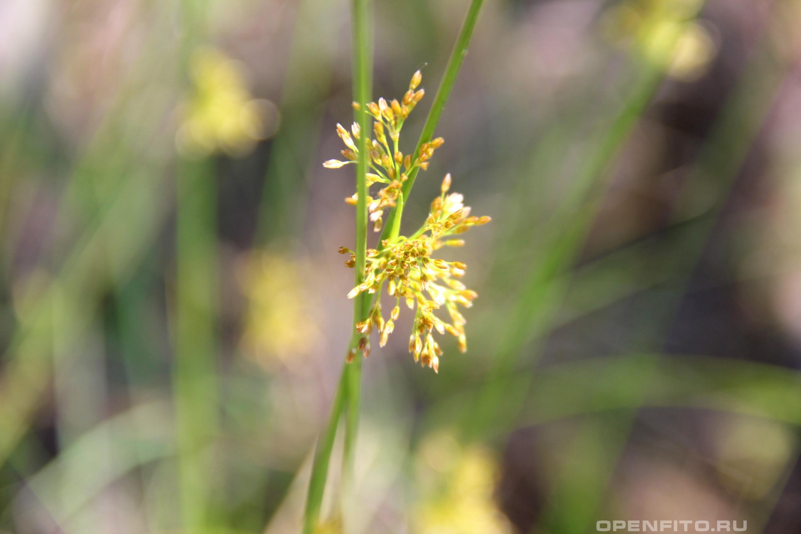 Ситник лекарственное болотное растение