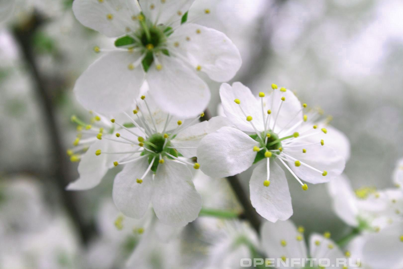 Вишня Весенние цветение