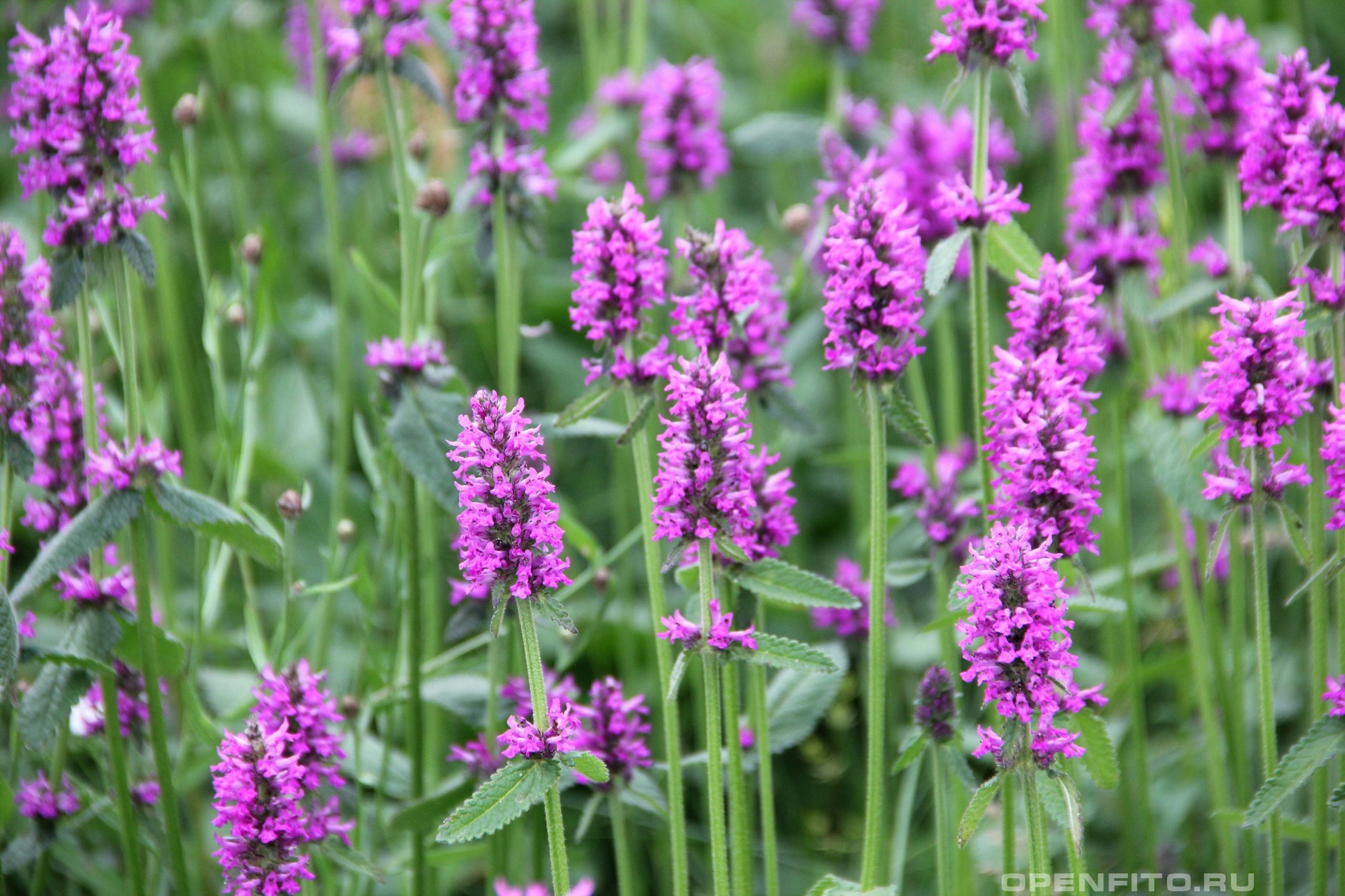 Буквица лекарственная поляна с цветущим растением