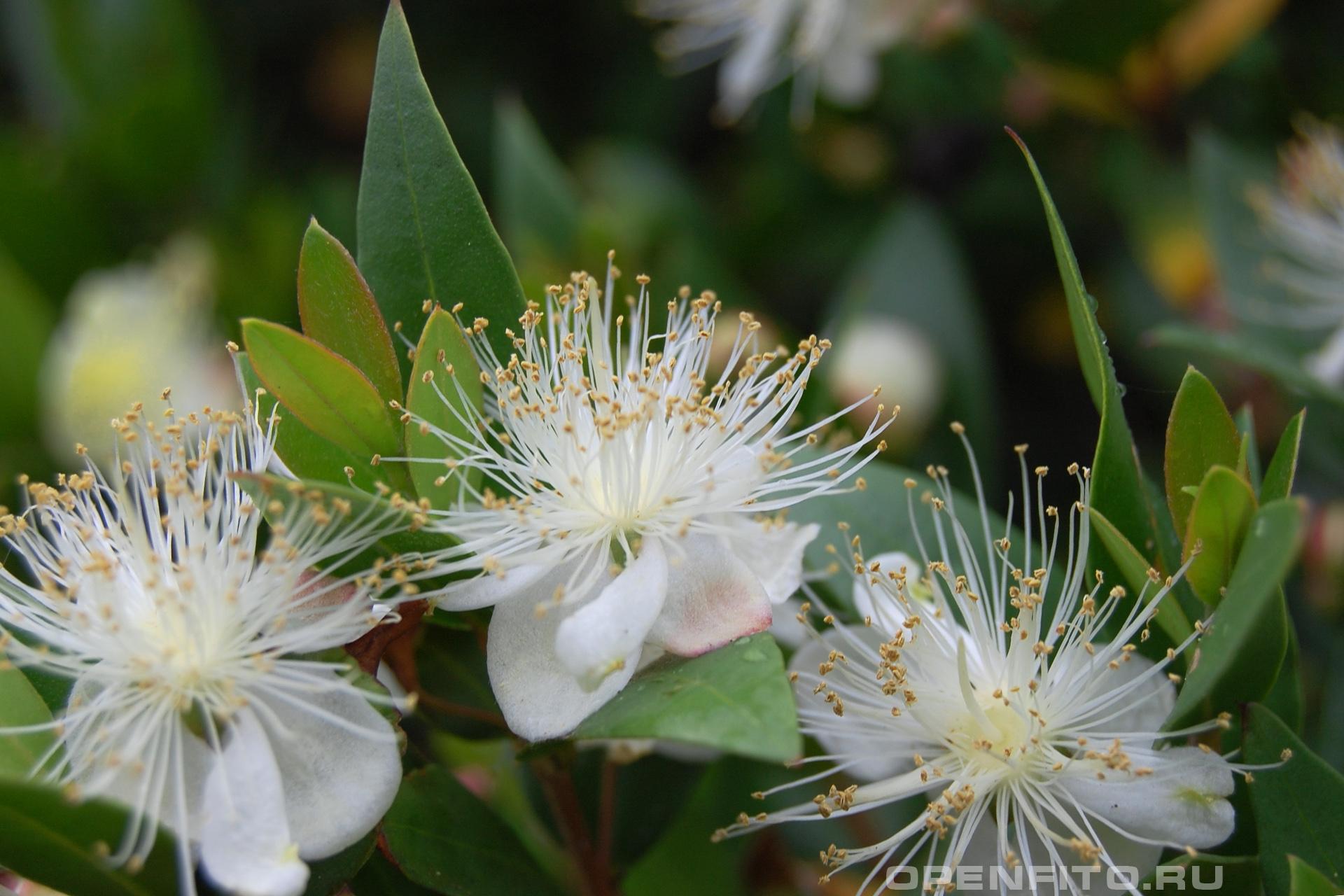 Мирт обыкновенный лечебное растение которое можно вырастить дома