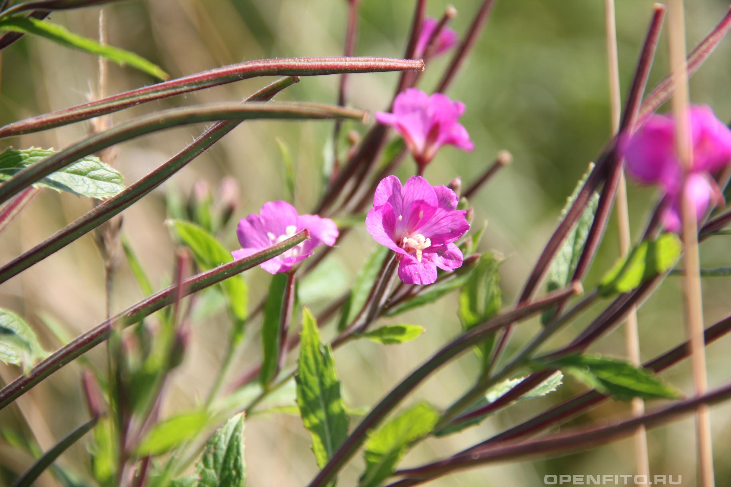 Кипрей волосистый цветки и завязи семян