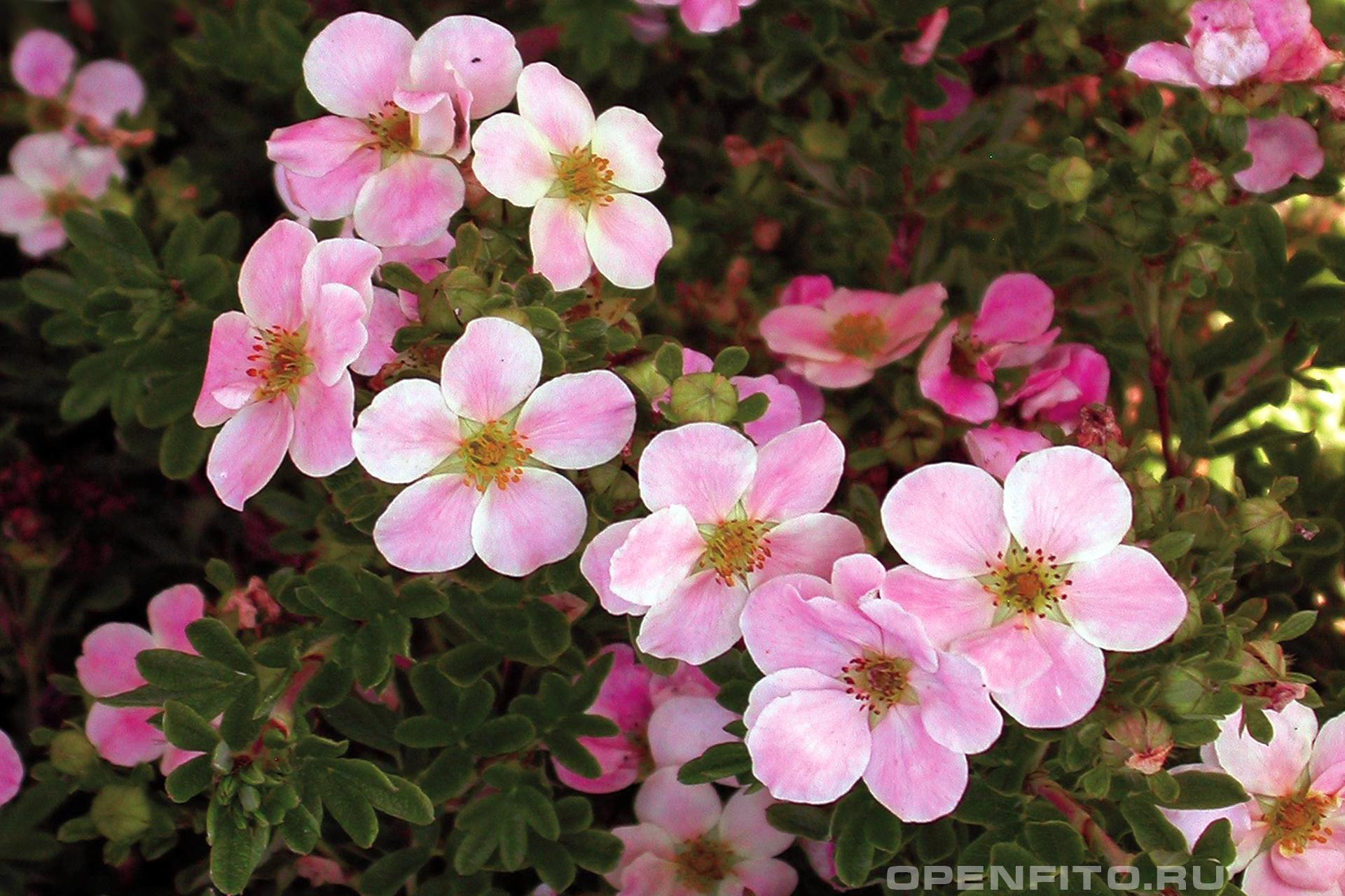 Лапчатка кустарниковая розовые цветы курильского чая
