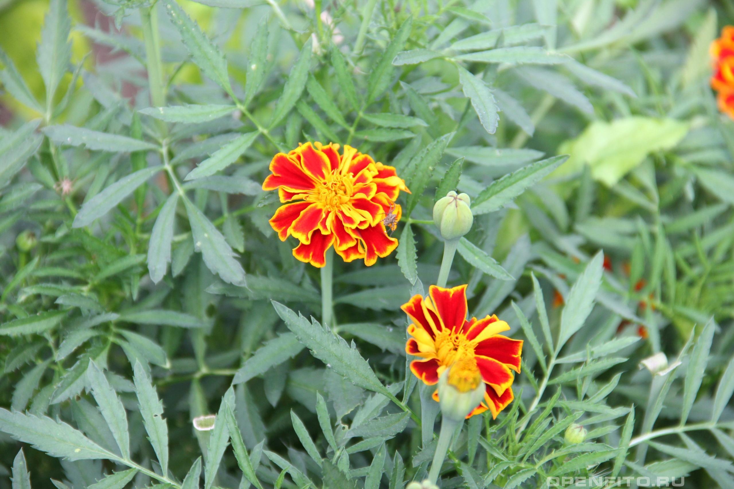 Бархатцы садовое, душистое и лекарственное растение