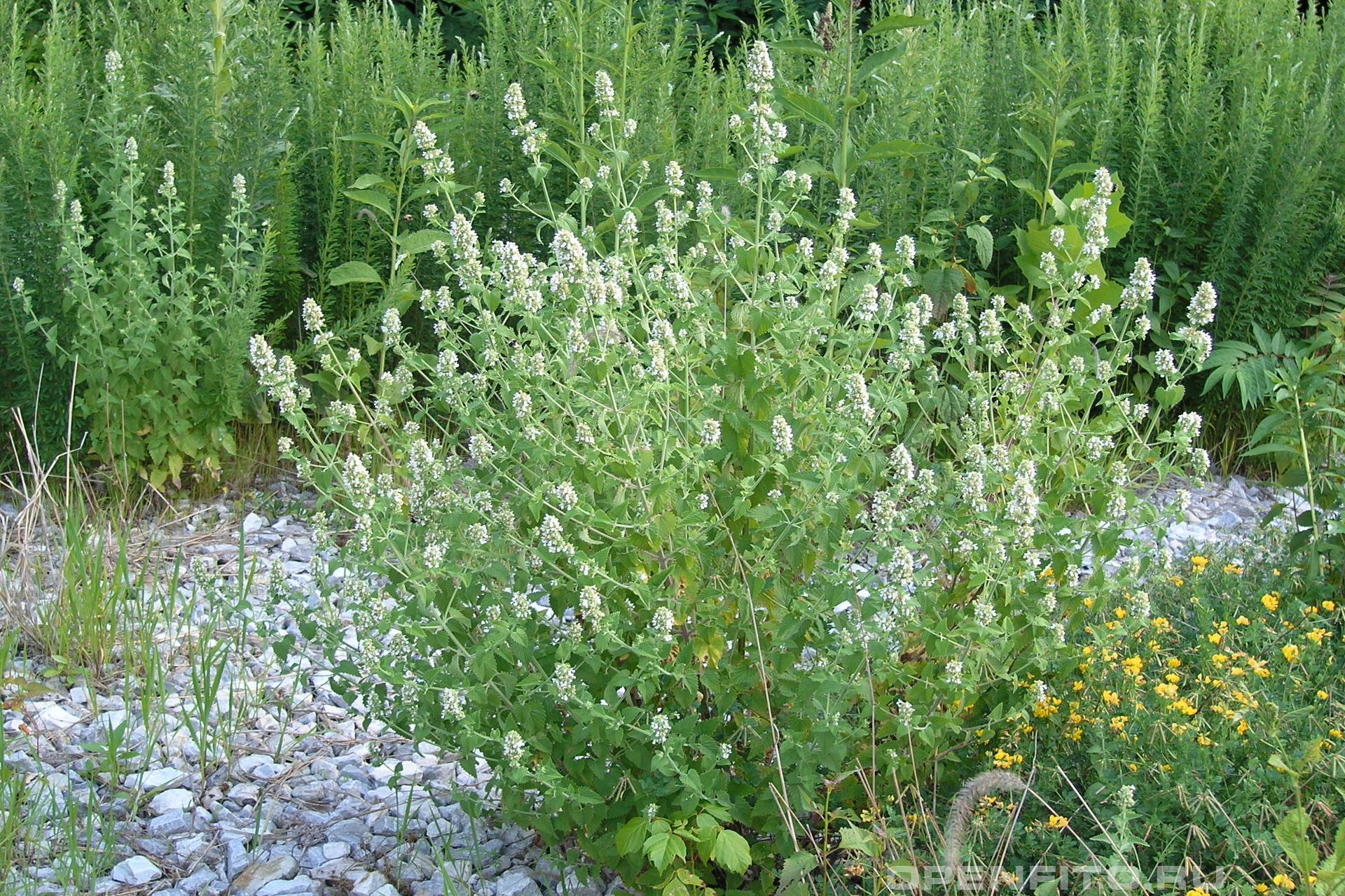 Котовник кошачий душистое растение которое называют кошачьей мятой