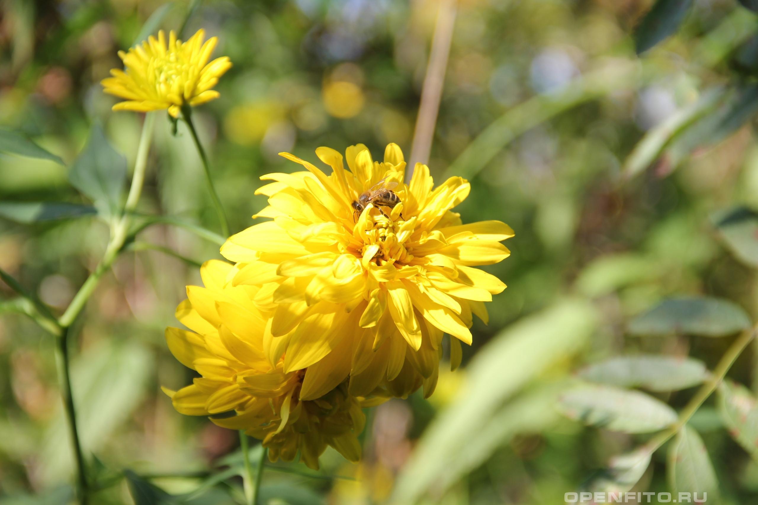 Рудбекия рассеченная  <p>садовое растение золотой шар</p>