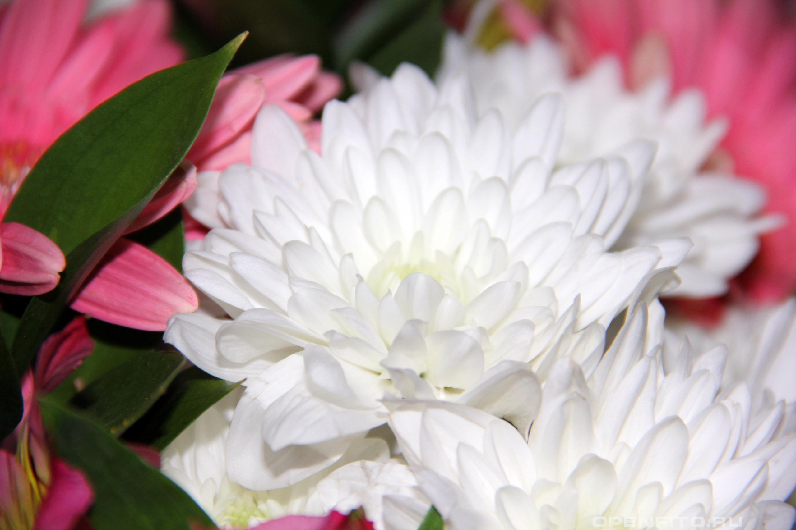 Хризантема индийская или Дендрантема мелкоцветковая