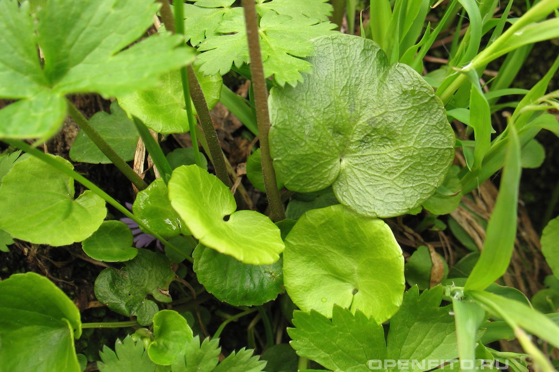 Сольданелла горная нижний лист растения круглый, а верхние уже сложные