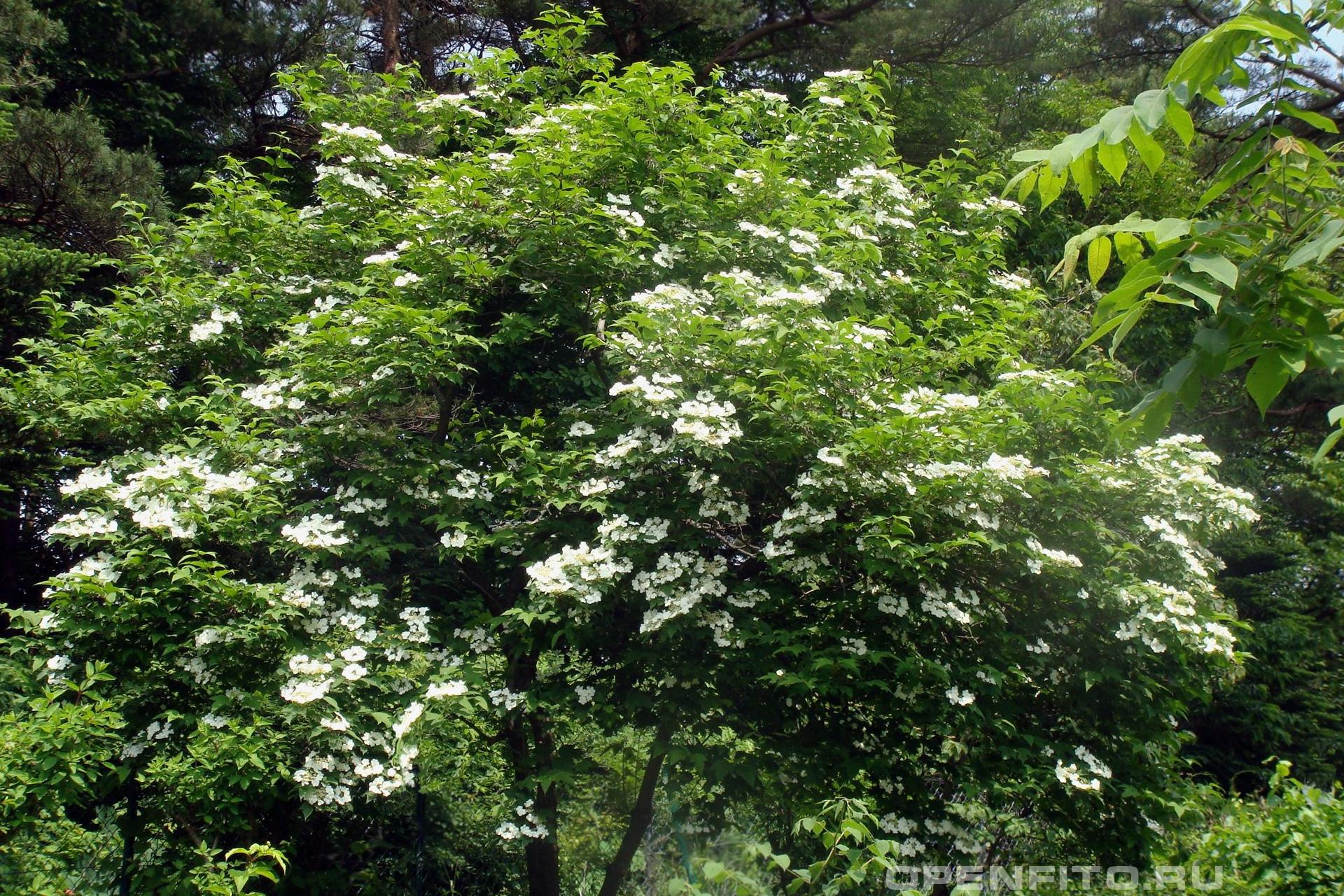 Калина цветущее дерево