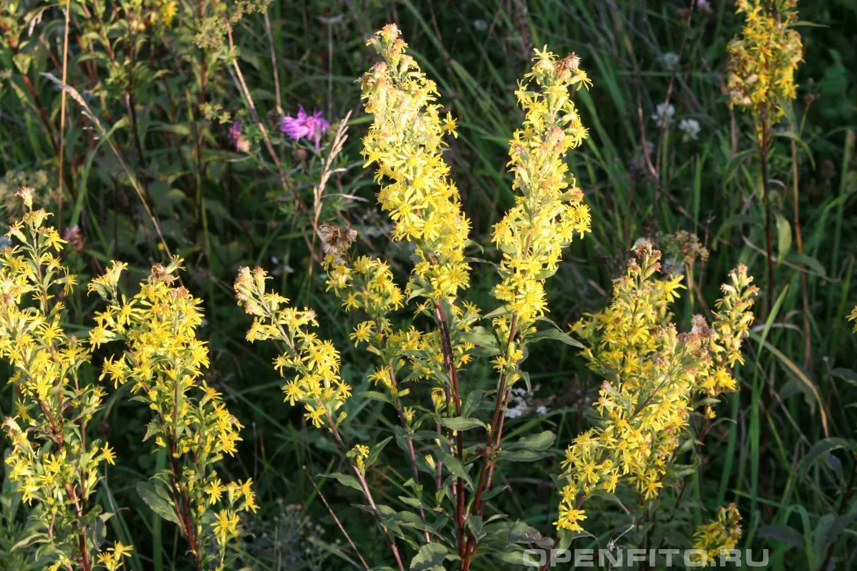 Золотарник Лекарственная трава