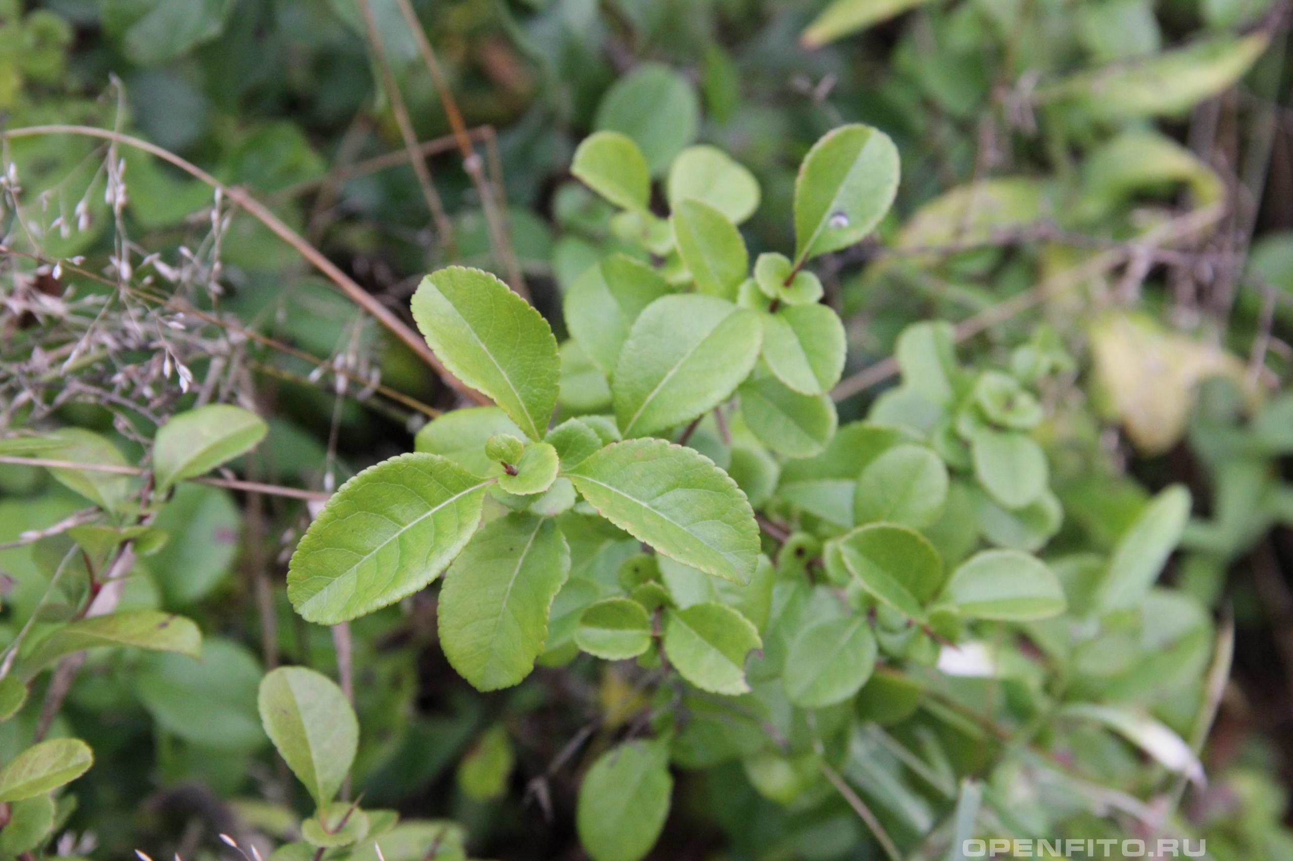 Айва японская побег растения