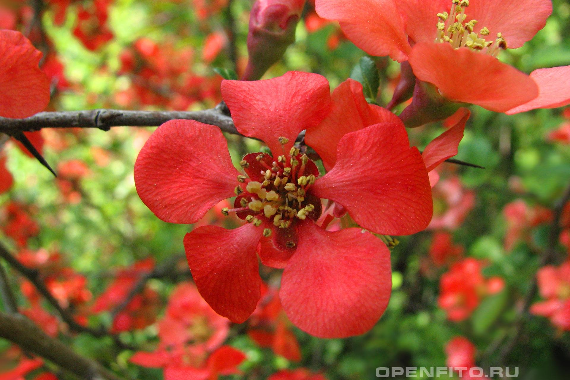 Айва японская мелкий кустарник с яркими цветками и кислыми плодами