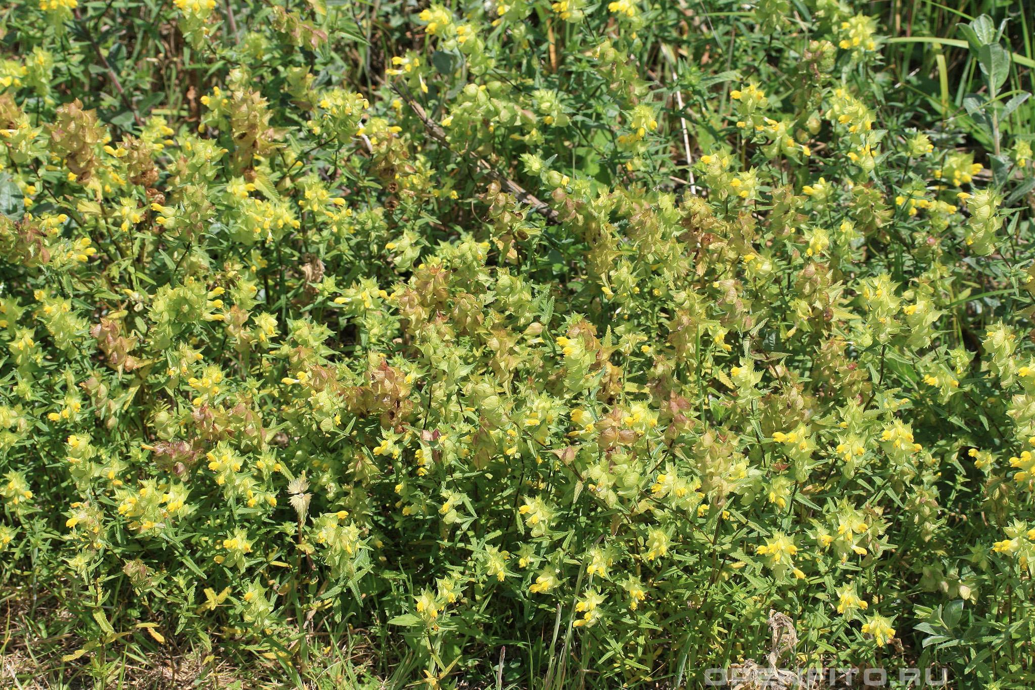 Погремок летний заросли растения-паразита