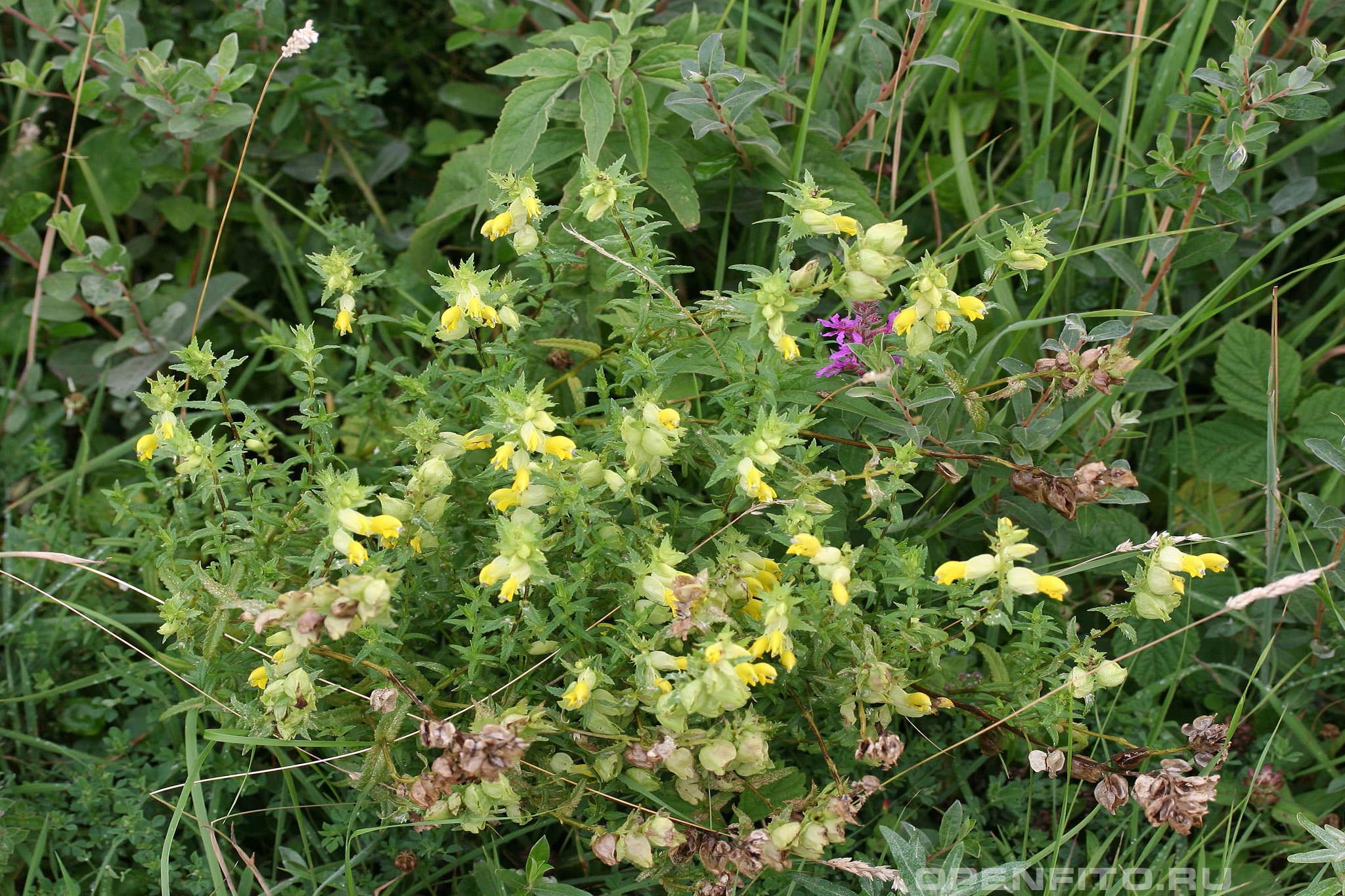Погремок летний цветы и плоды травы