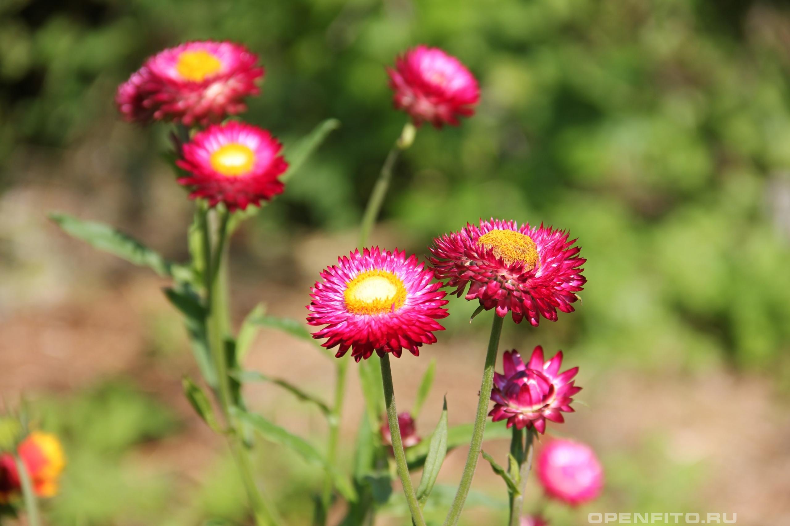 Бессмертник прицветниковый садовые цветки которые не засыхают