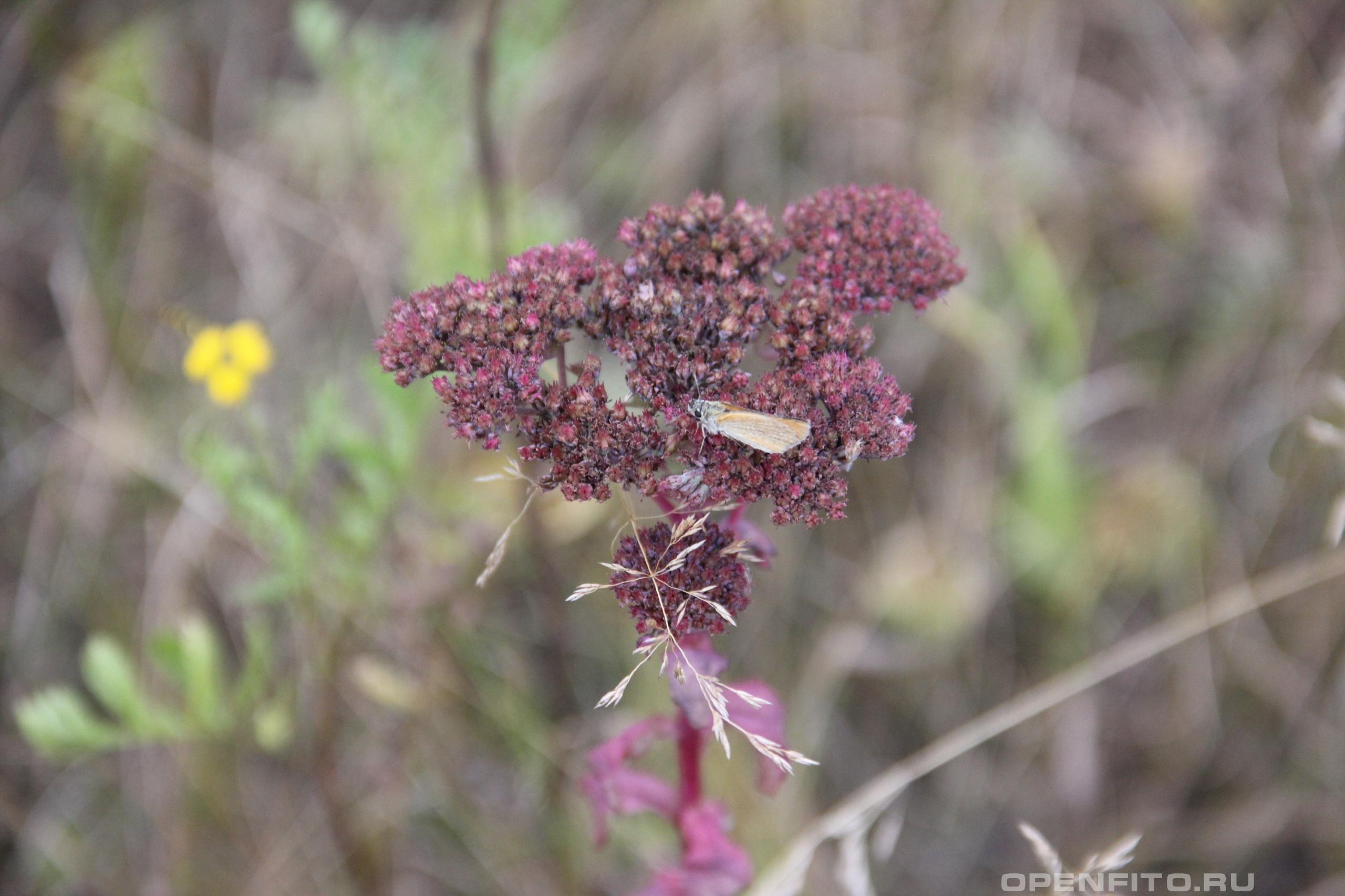 Очиток пурпурный растение во время цветения и сбора лекарственного сырья