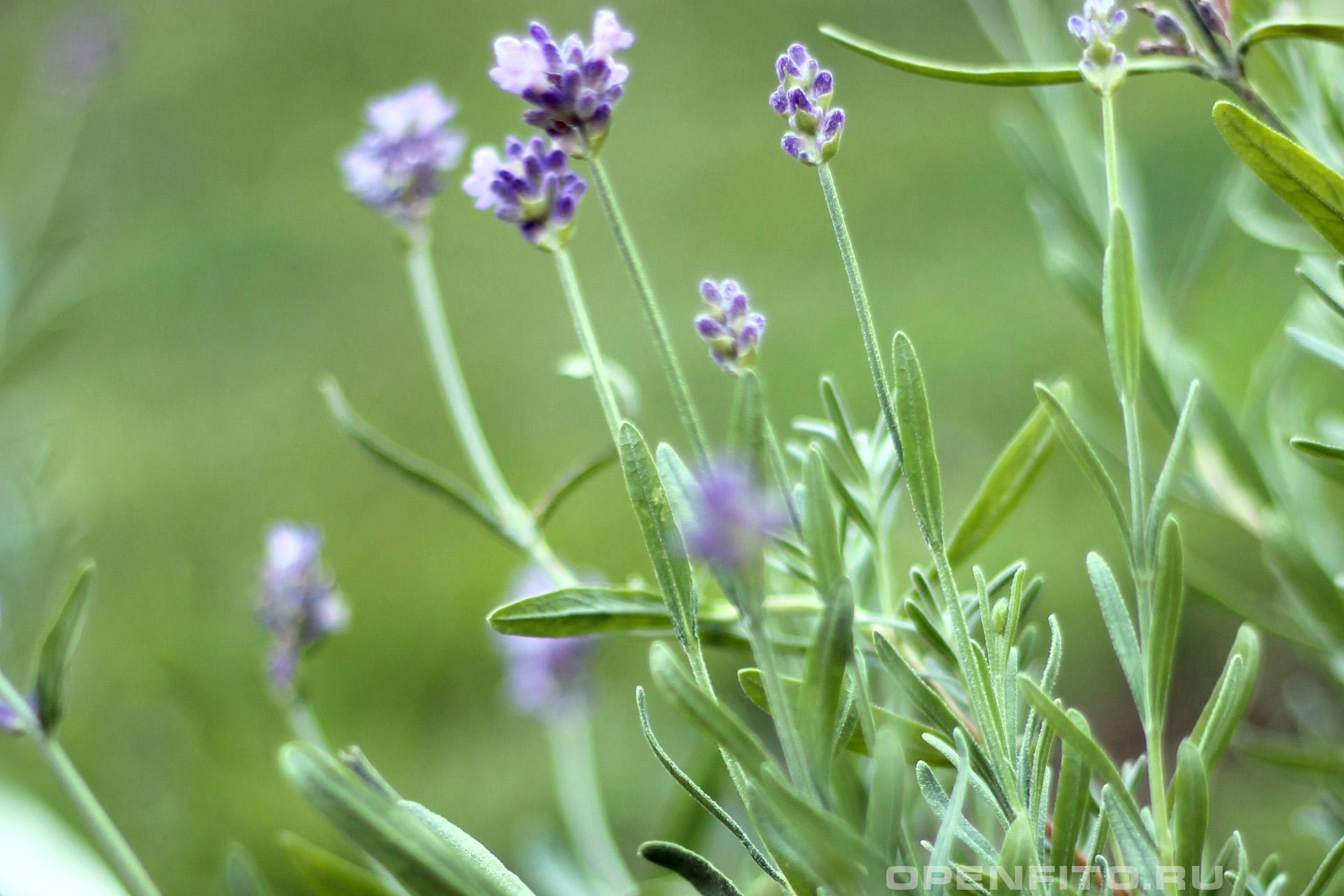 Лаванда узколистная листья и цветки душистой травы