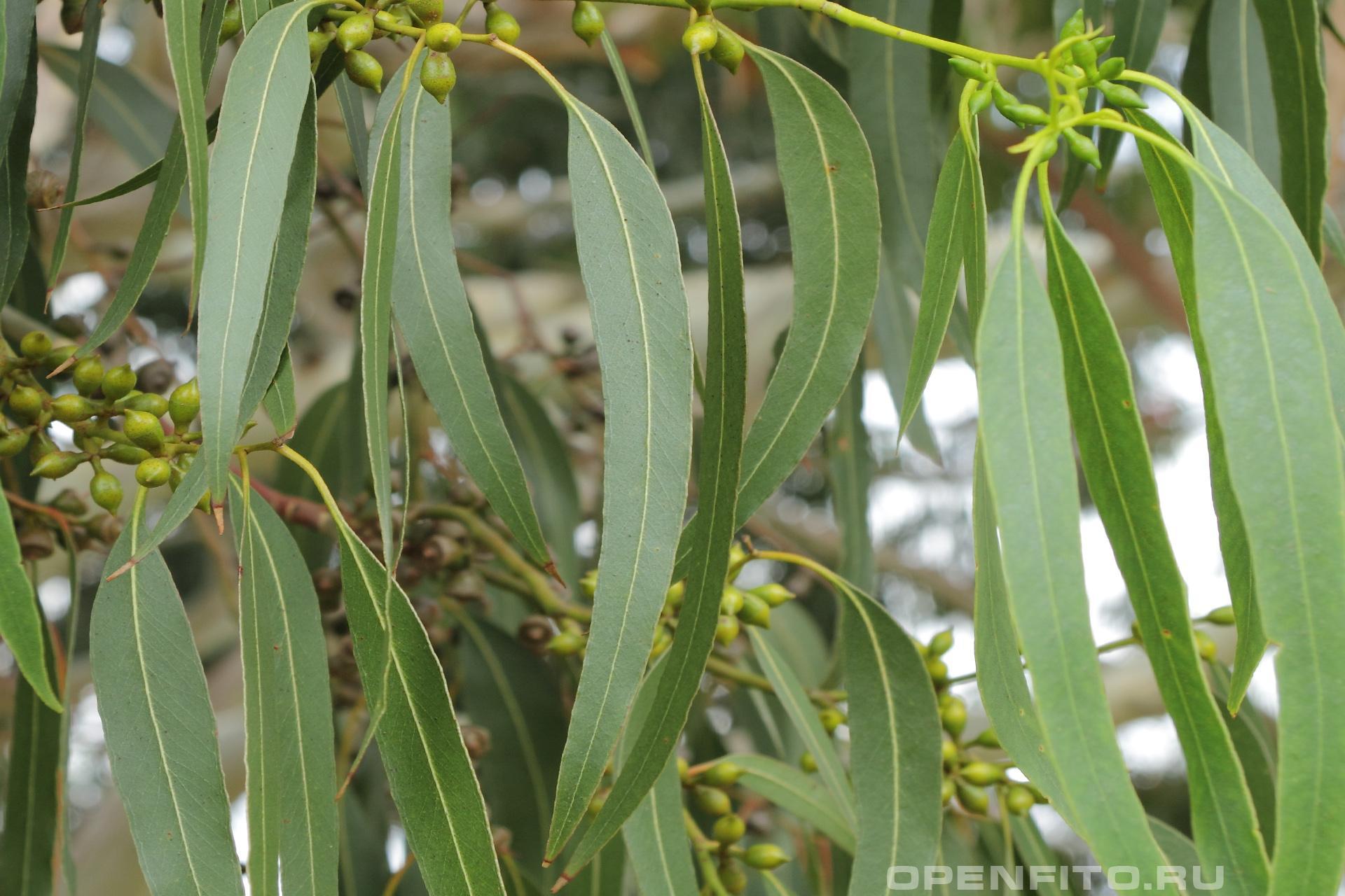 Эвкалипт прутовидный листья и незрелые плоды лечебного дерева