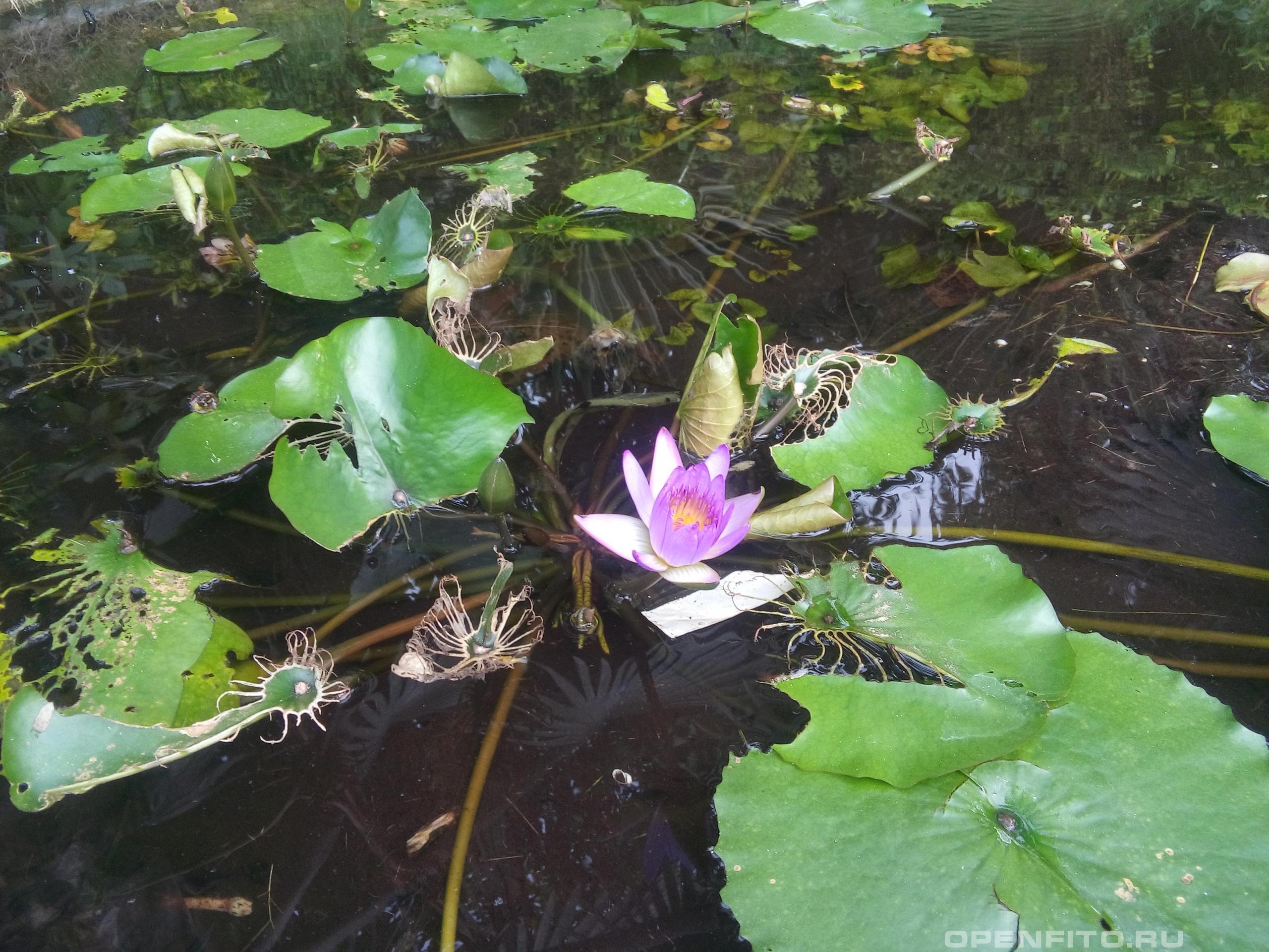Кувшинка голубая <p>снимок сделан во Вьетнамском ботаническом саду с названием