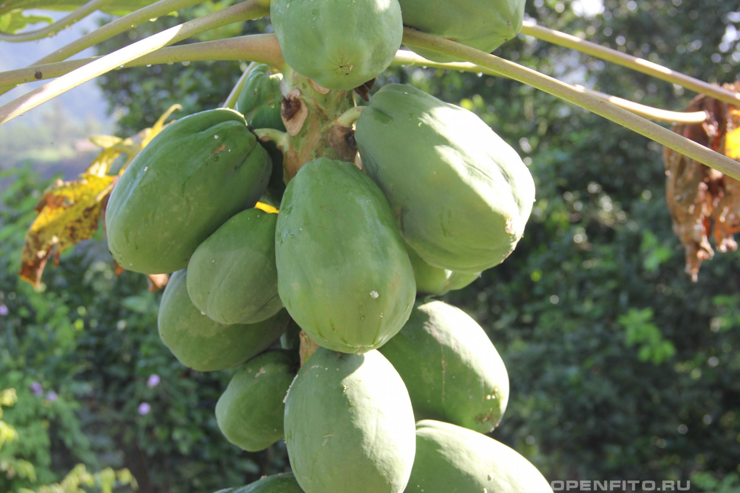 Папайя незрелые плоды растения