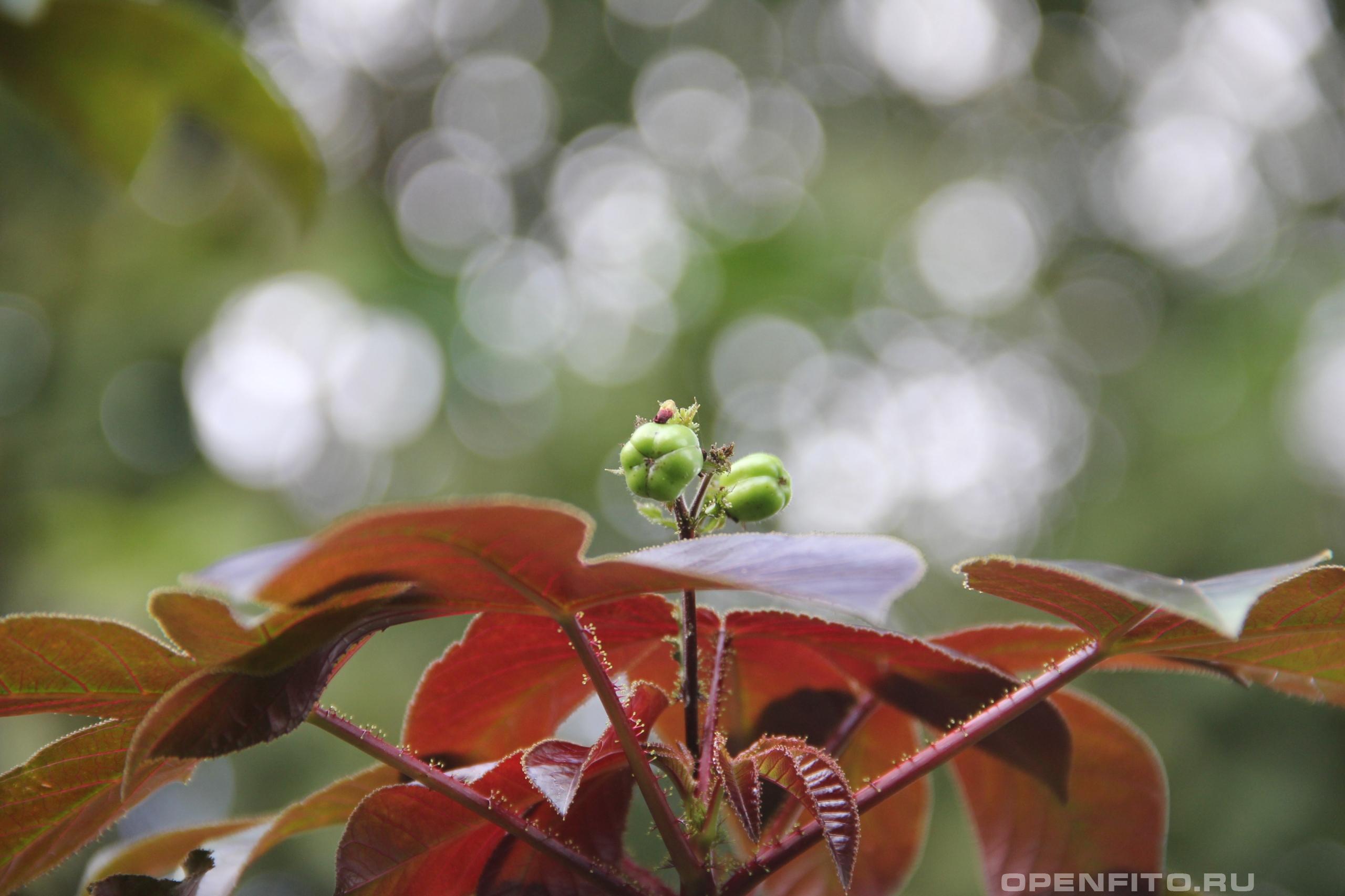 Ятрофа хлопчатниколистная незрелые плоды лекарственного растения