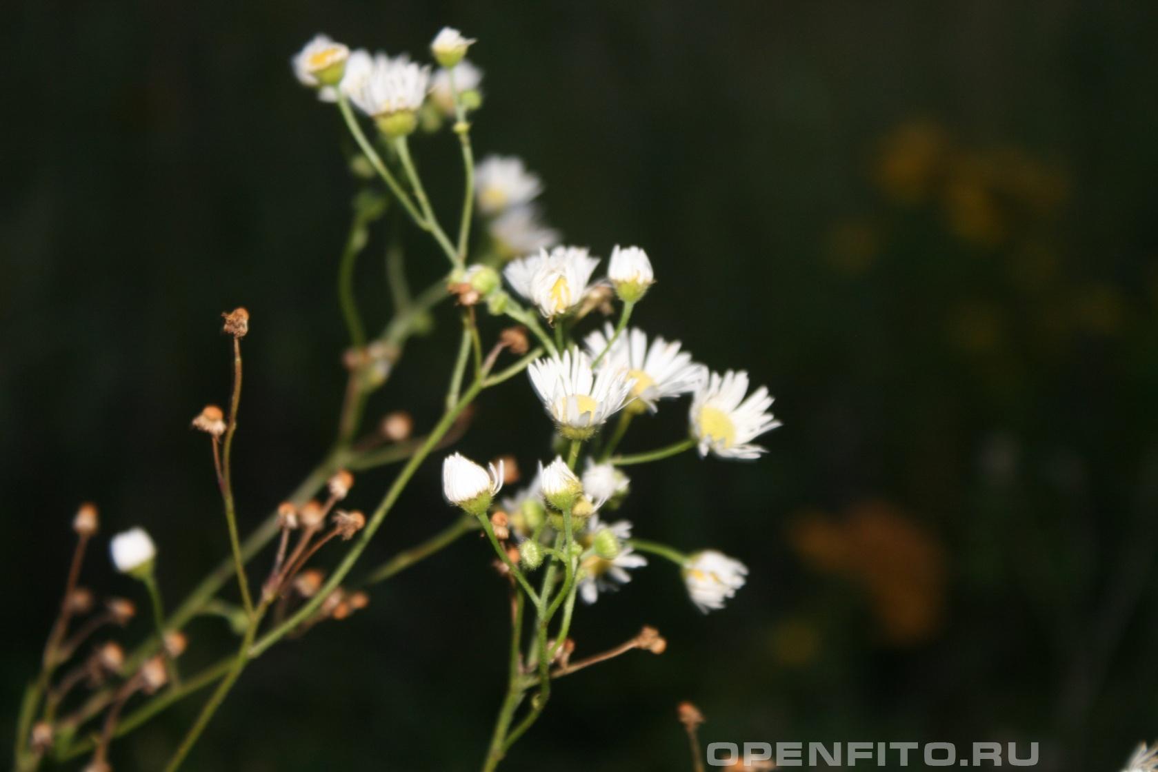 Мелколепестник обыкновенный Цветет осенью, лекарственное