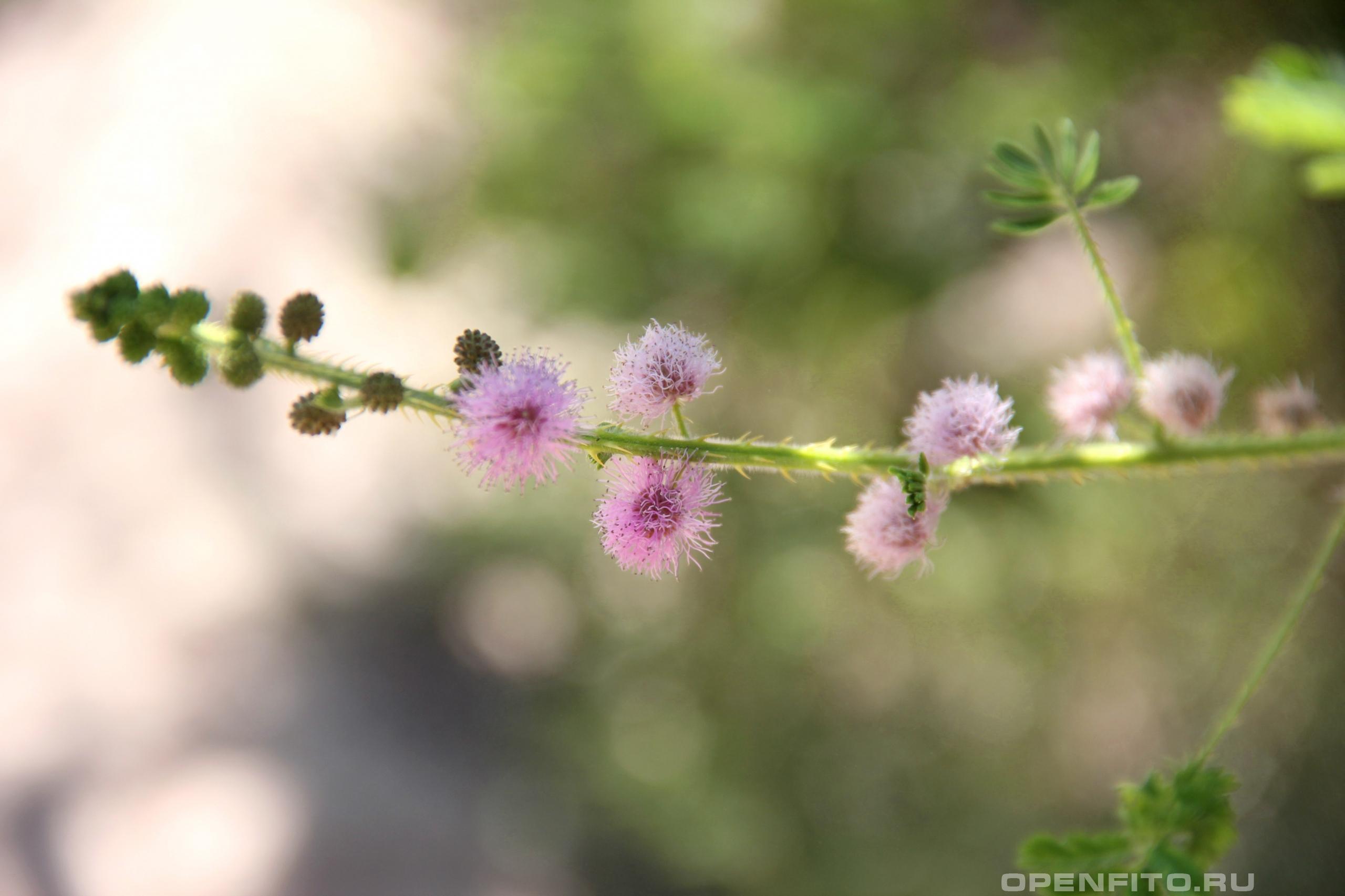Мимоза стыдливая соцветие растения
