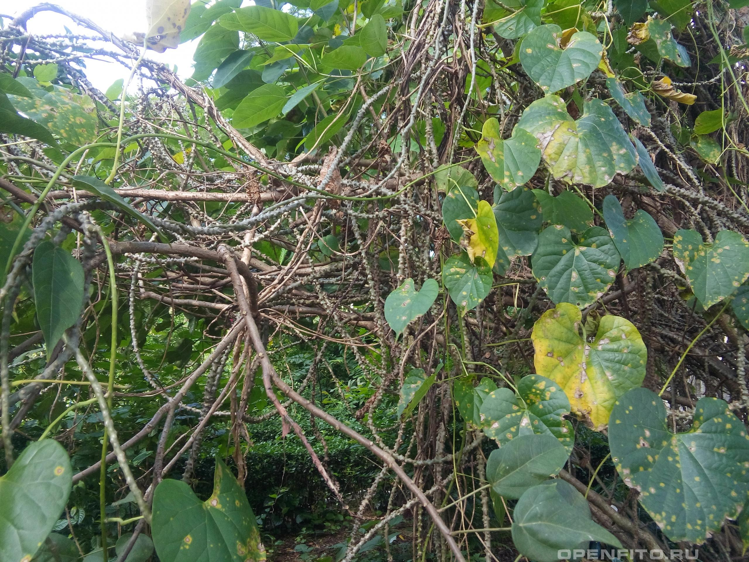 Тиноспора ребристая лекарственная специя из тропиков