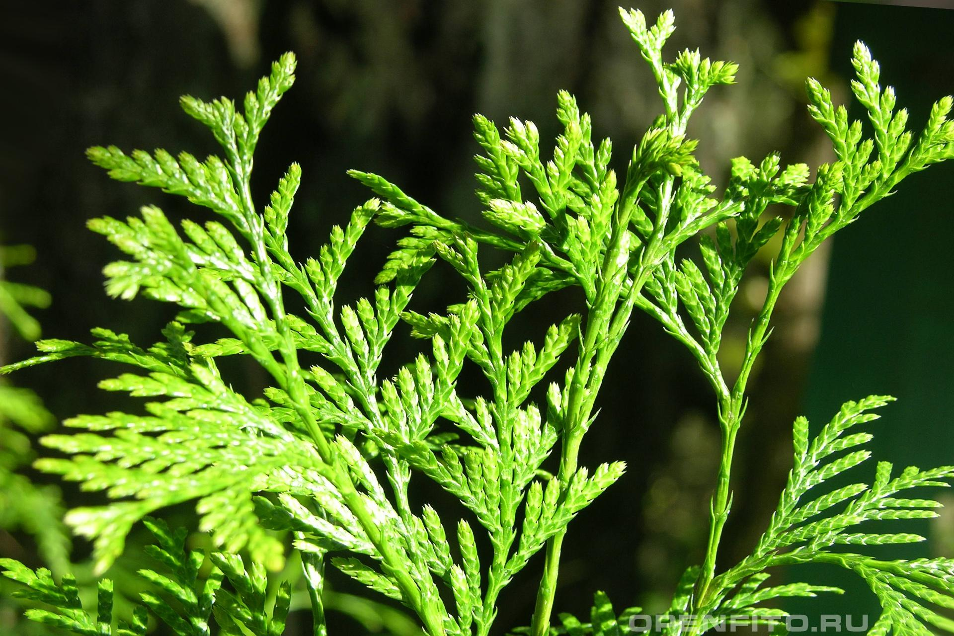 Туя складчатая <p>или туя полосатая, в Колумбии это растение называют