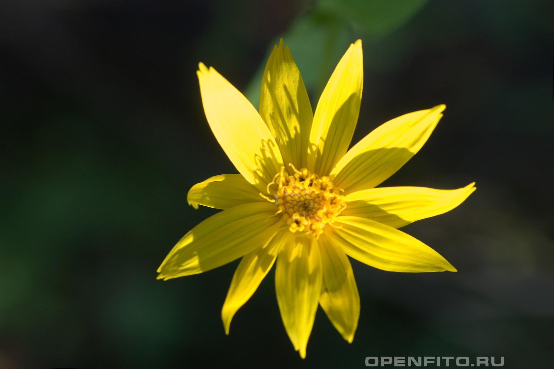 Арника так цветут растения из семейства арника