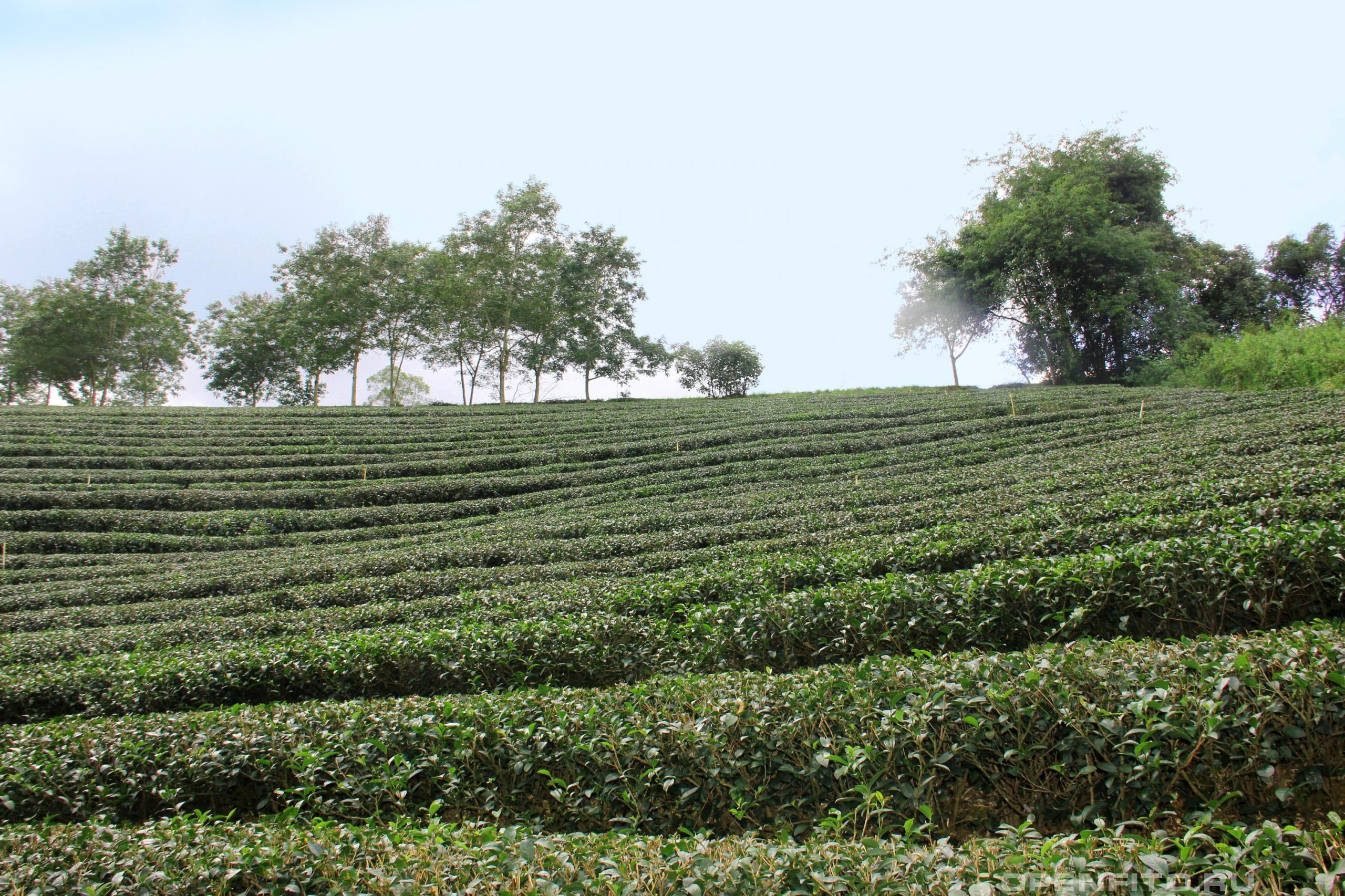 Камелия китайская плантация китайского чая