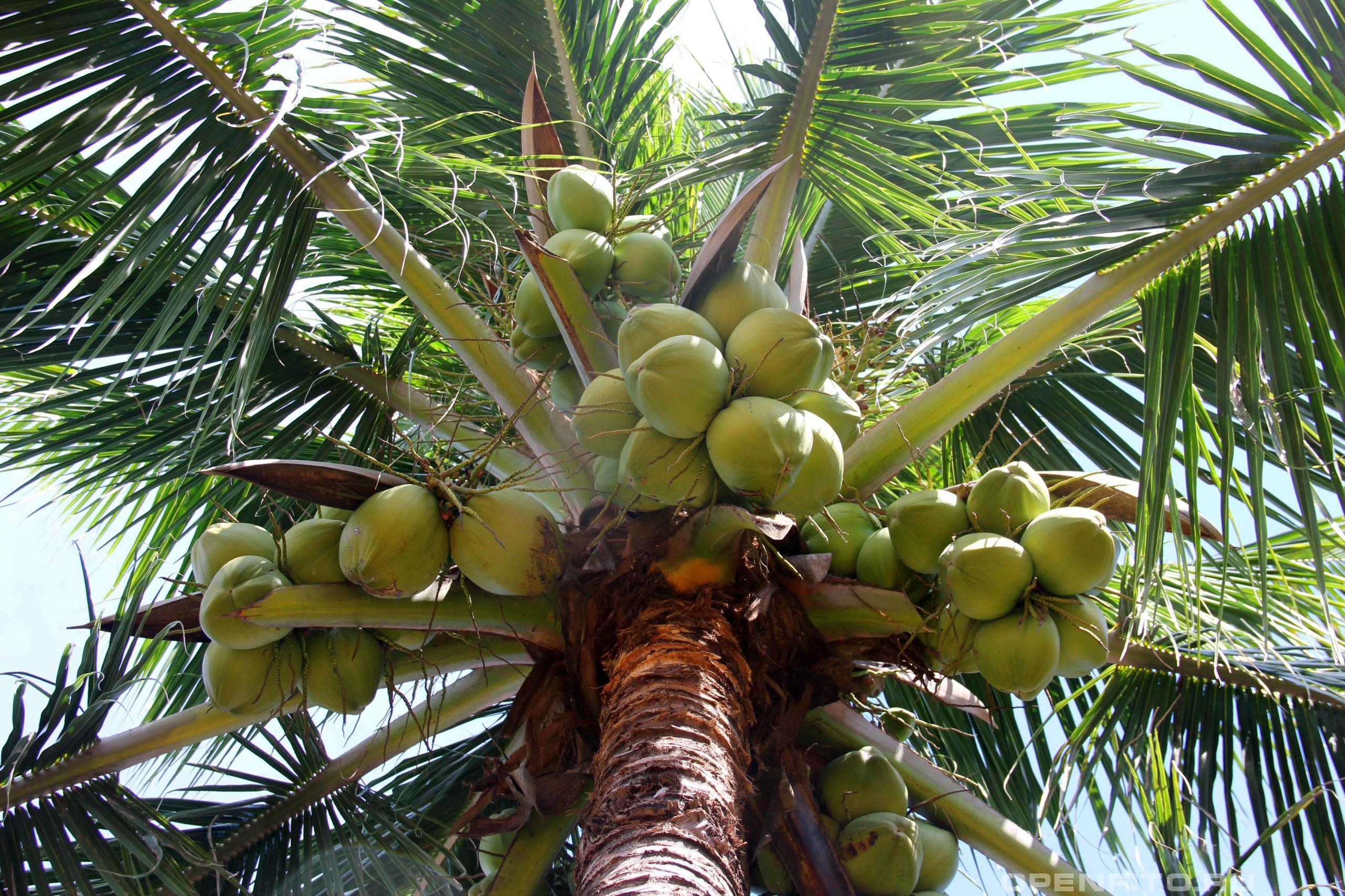 Кокос орехоносный кокосовая пальма