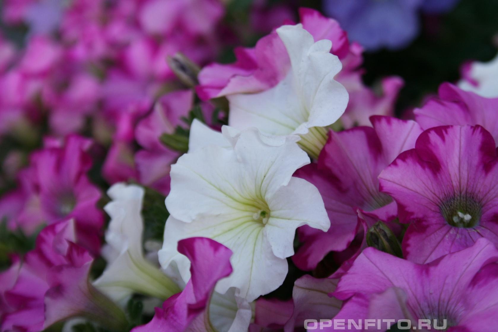Петуния садовая <p>Декоративное растение</p>