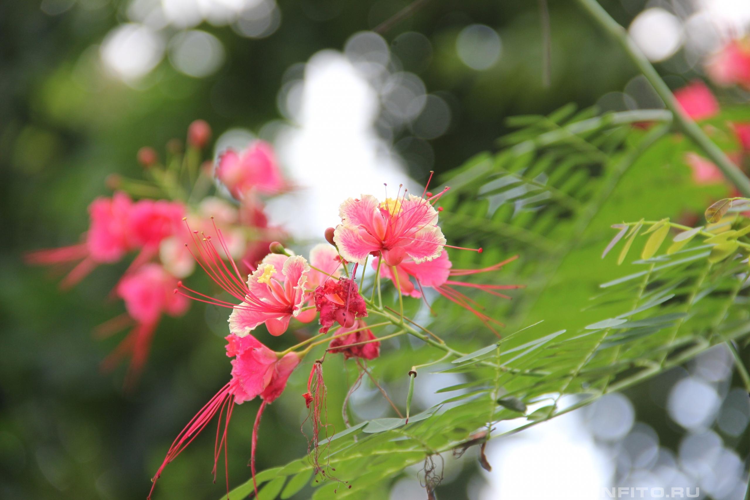 Цезальпиния красивейшая павлиний цветок