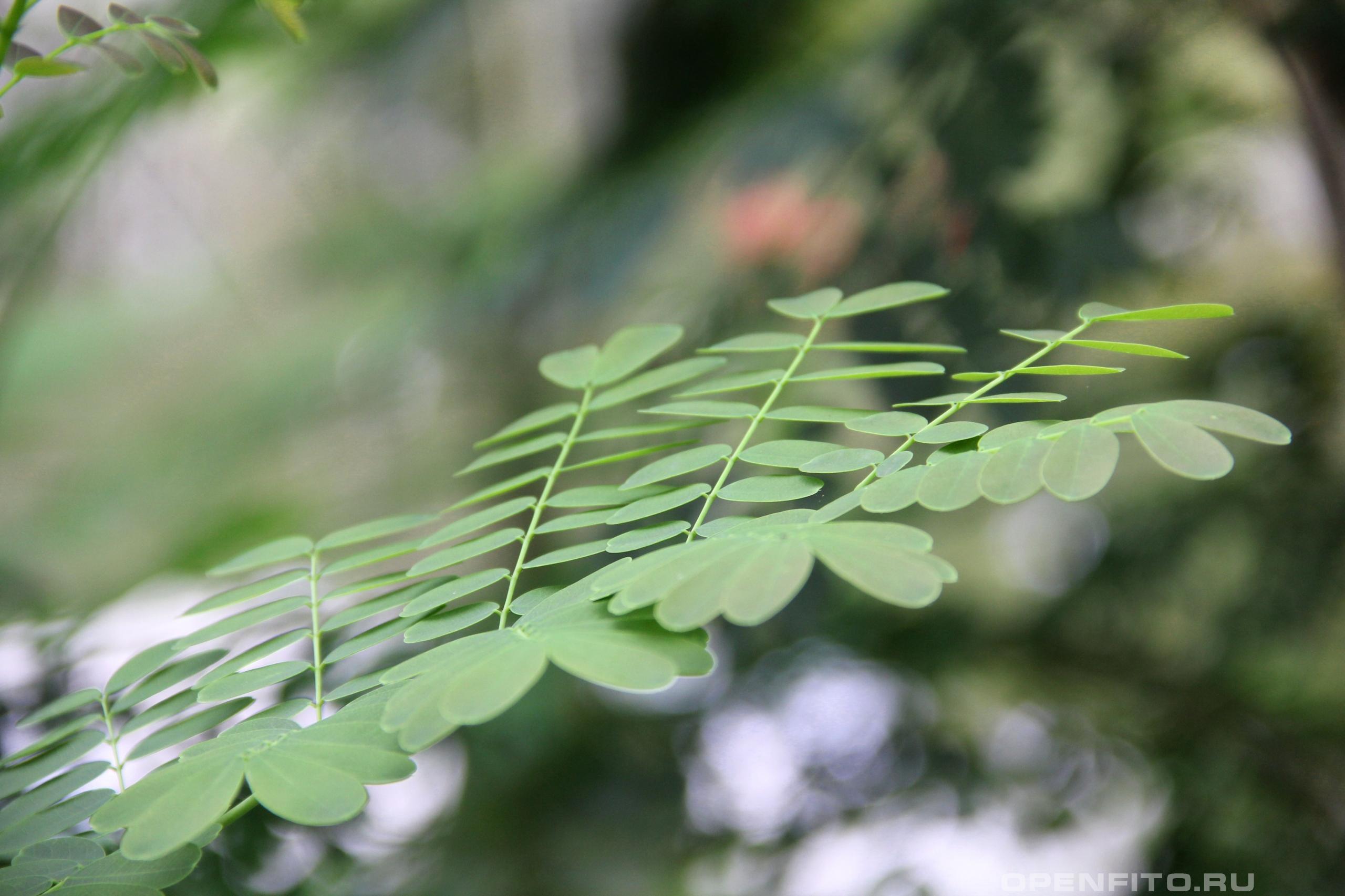 Цезальпиния красивейшая лист растения