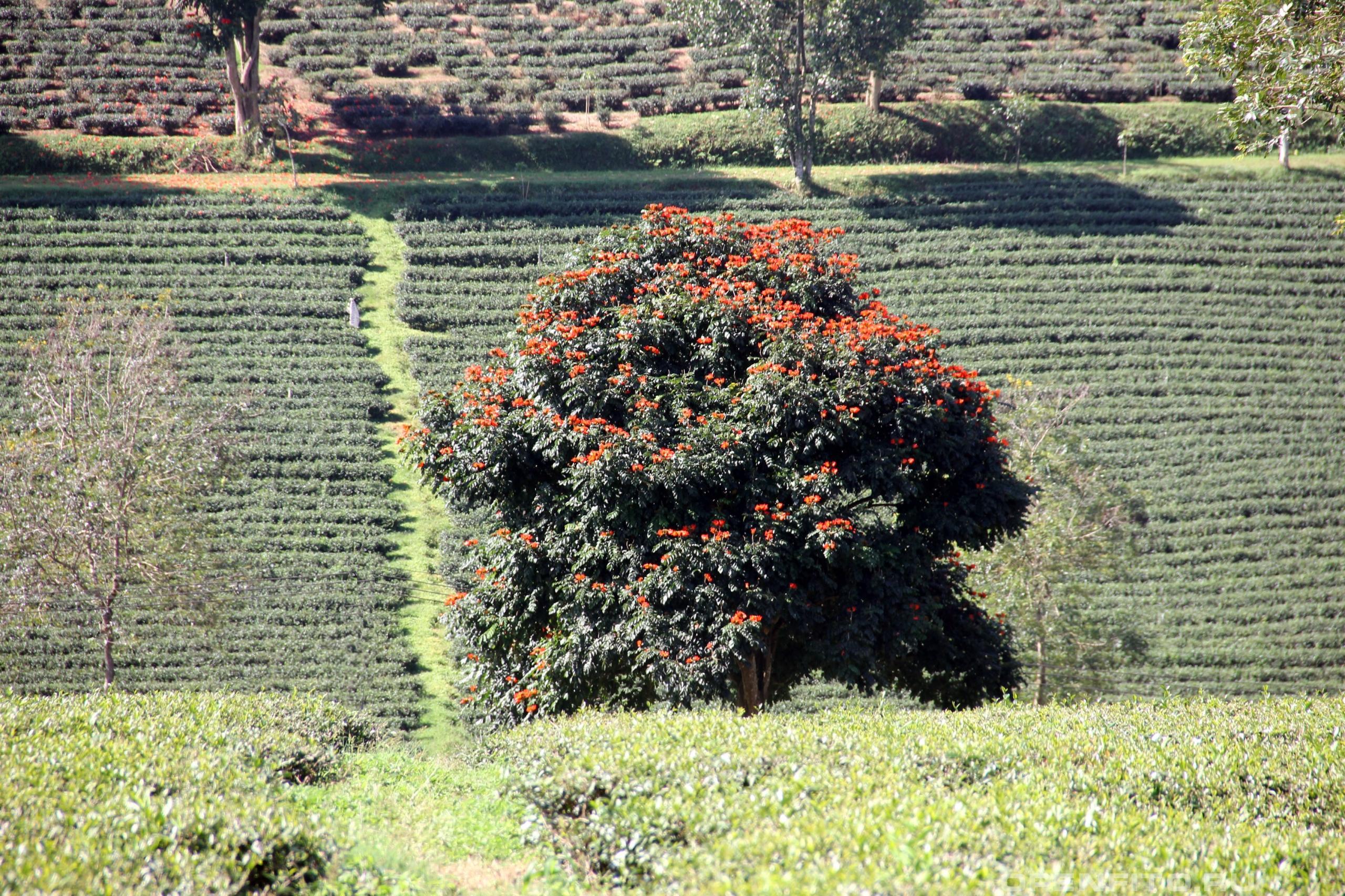 Делоникс королевский тюльпановое дерево среди чайных плантаций