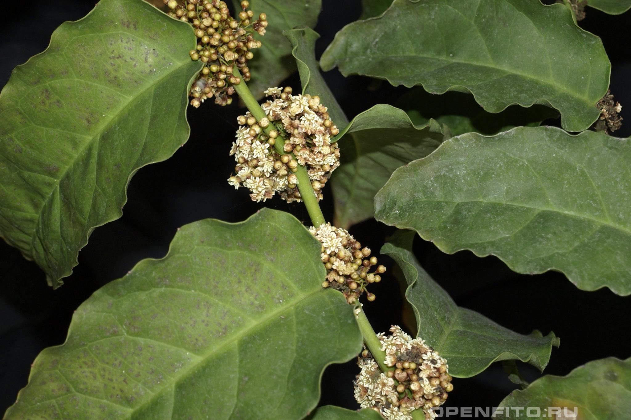 Амборелла волосистоножковая так цветет одно из самых древних цветковых растений