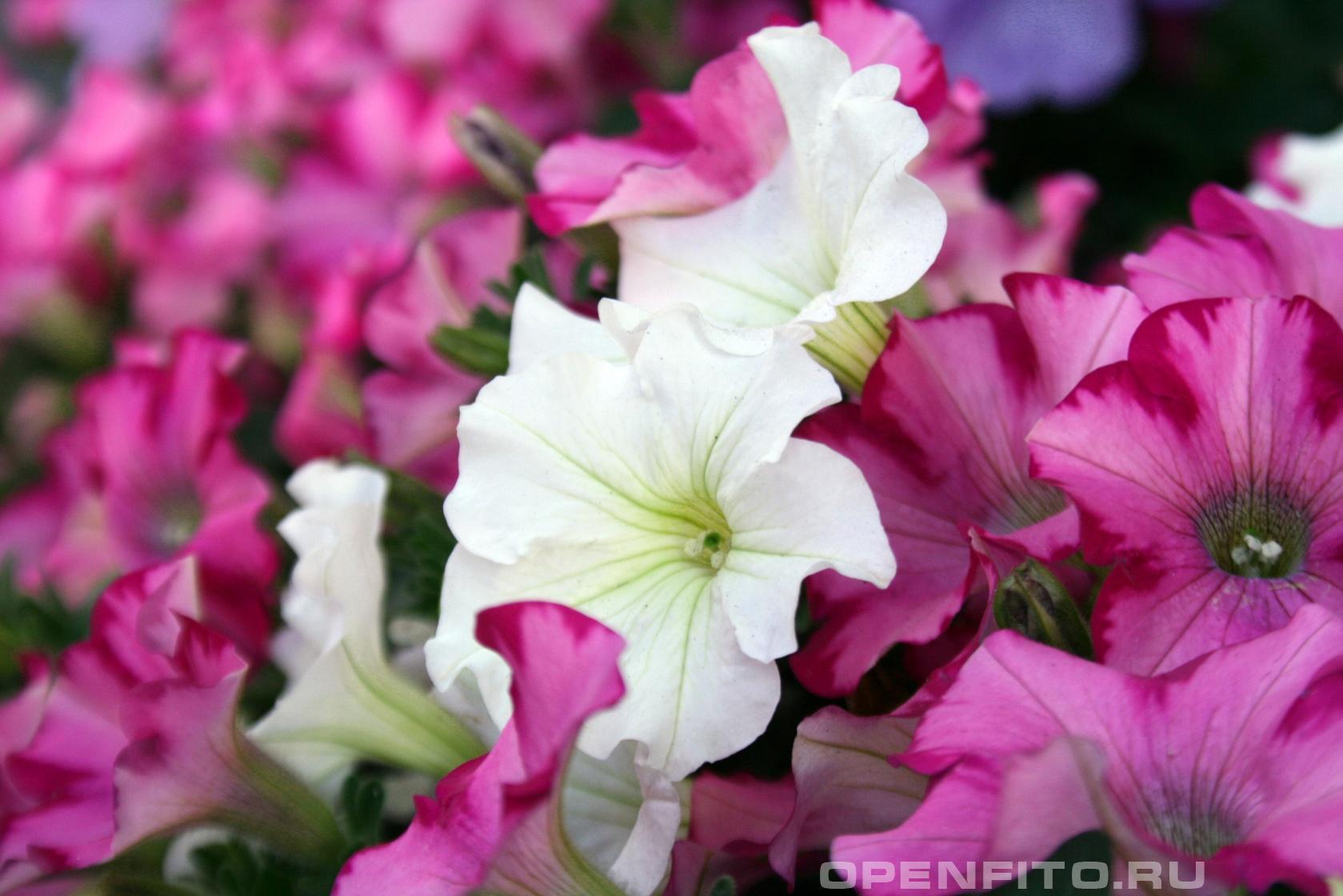 Петуния <p>самое распространенное садовое растение в России</p>