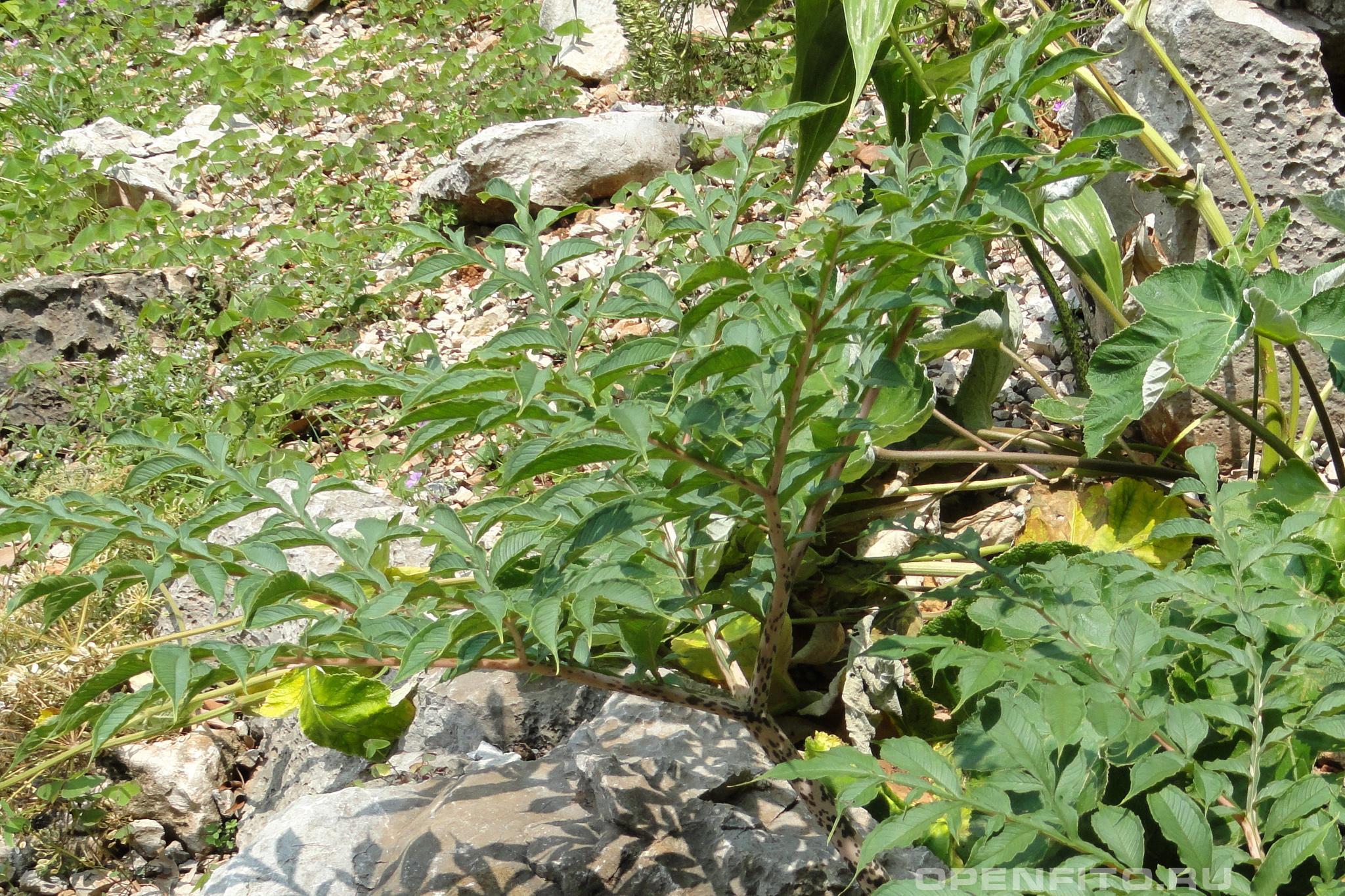 Аморфофаллус это растение считается самой плохо-пахнущей травой в мире