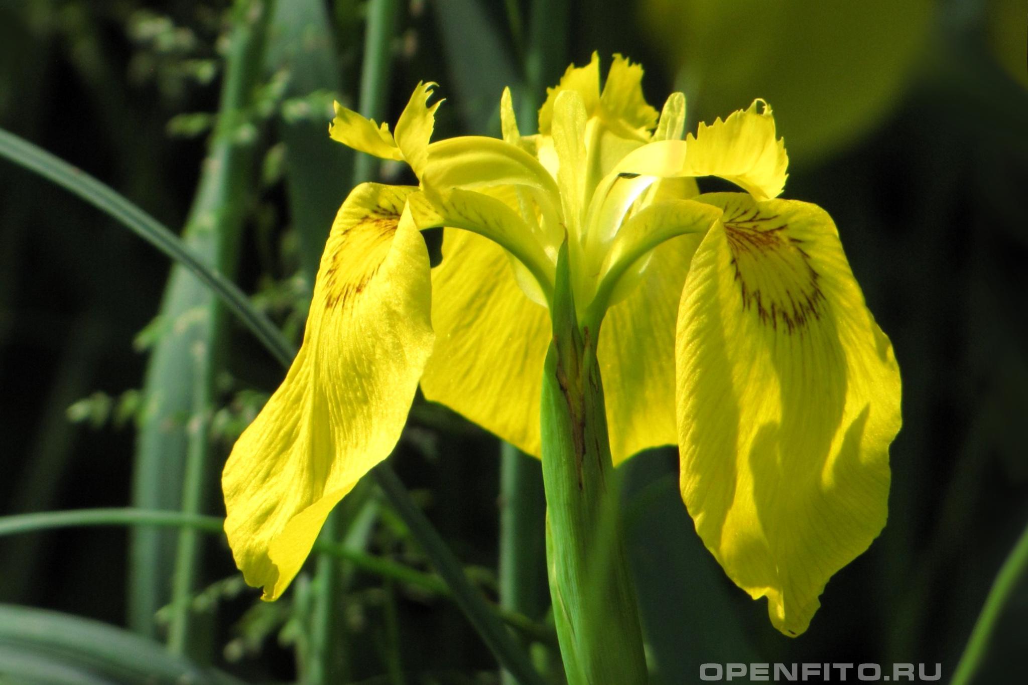 Ирис болотный желтый цветок