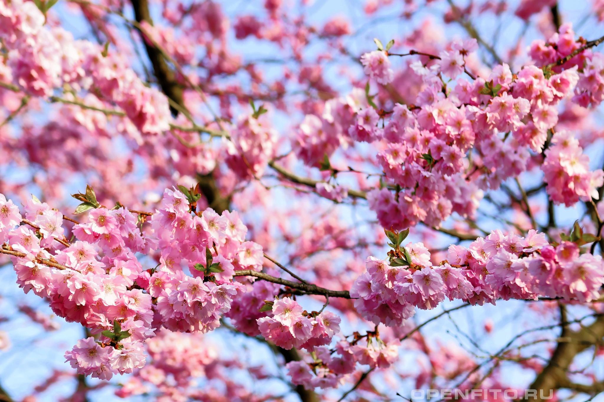 Вишня мелкопильчатая это растение является символом Японии, обычно его называют сакура