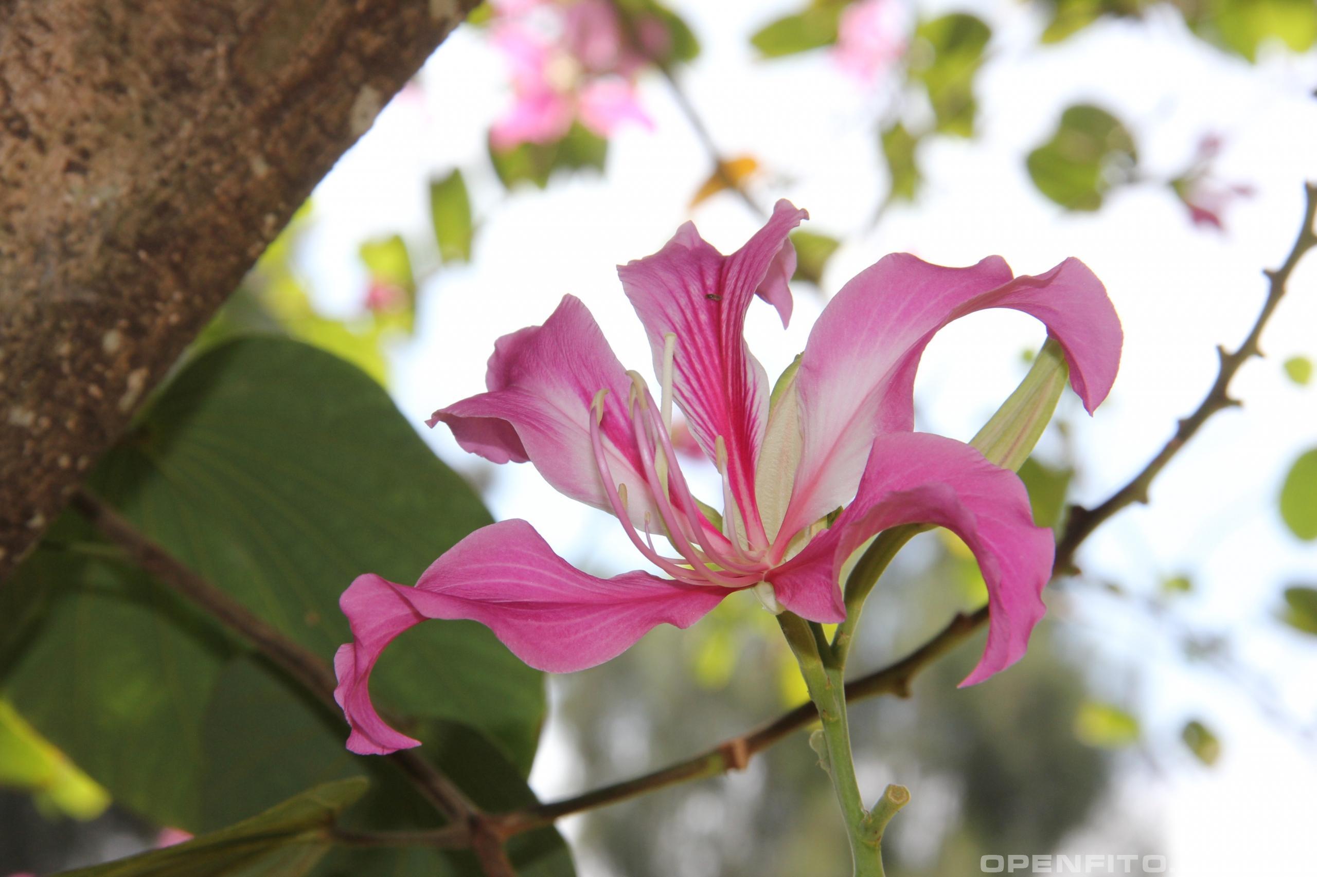 Баугиния пёстрая тропическое растение