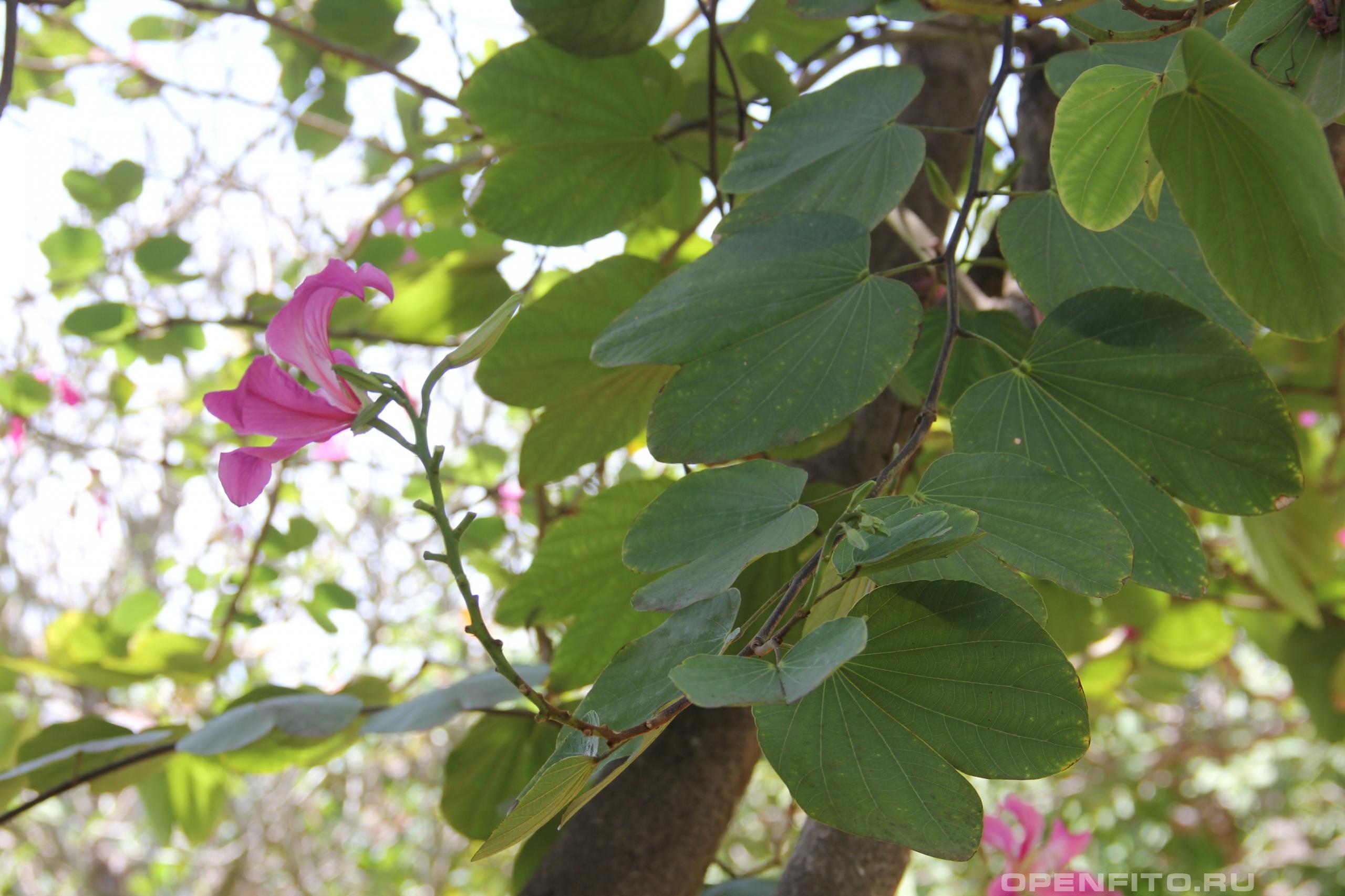 Баугиния пёстрая листья дерева