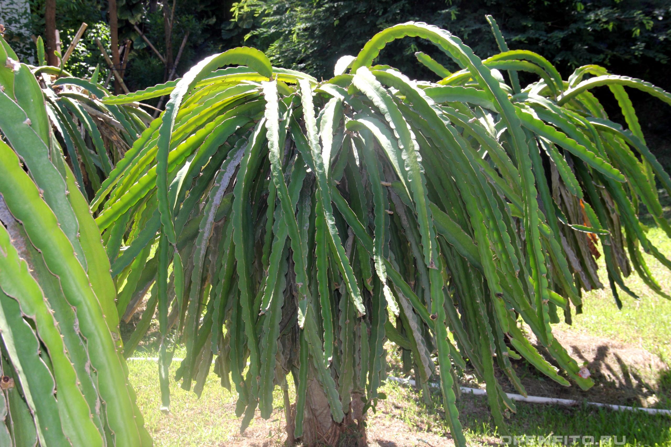 Гилоцереус волнистый на самом деле это стелющееся растение, его привязывают к бетонным столбам чтобы его плоды не гнили