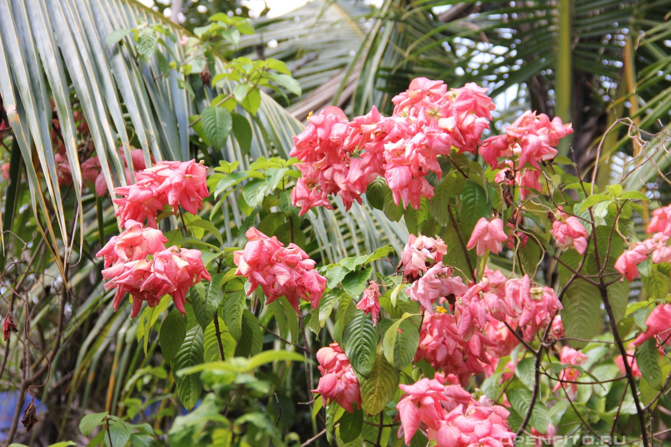 Муссенда филиппинская красивое декоративное растение